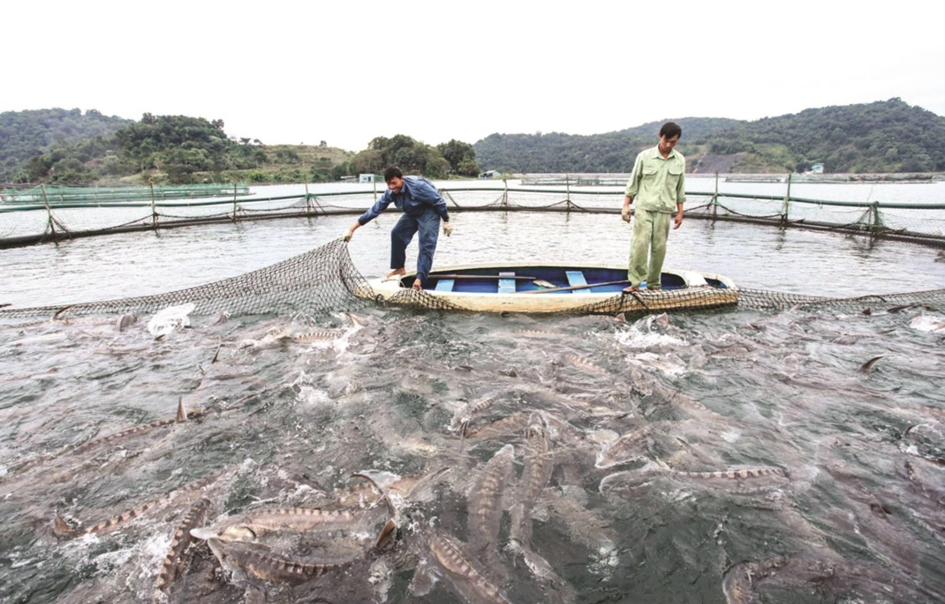 Lòng hồ thủy điện Sơn La là điều kiện thuận lợi để nuôi cá tầm.