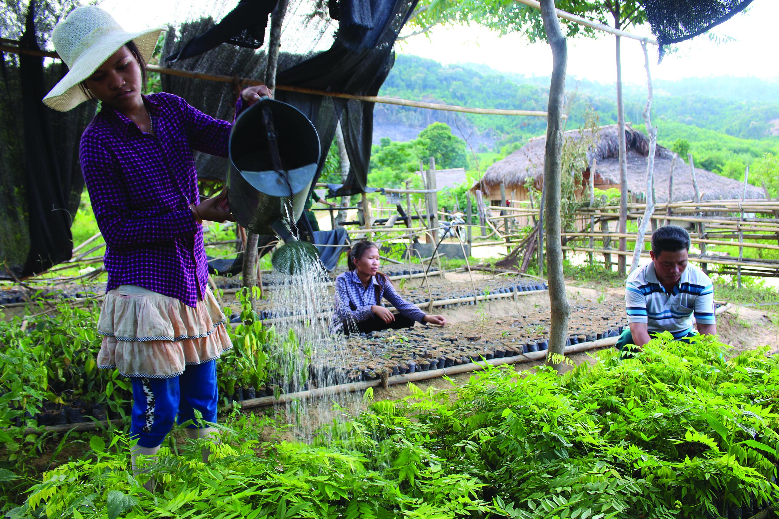 Đồng bào Mã Liềng ở bản Kè, xã Lâm Hóa, huyện Tuyên Hóa chăm sóc vườn ươm giống cây huê đỏ để trồng rừng