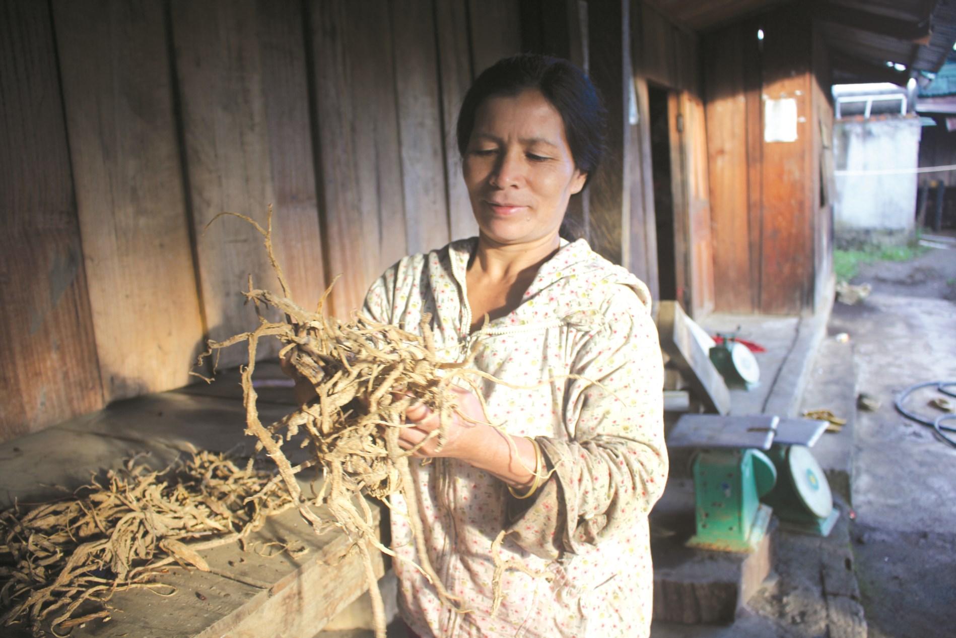 Chị Y Hlạng tiên phong trồng sâm dây ở Măng Ri