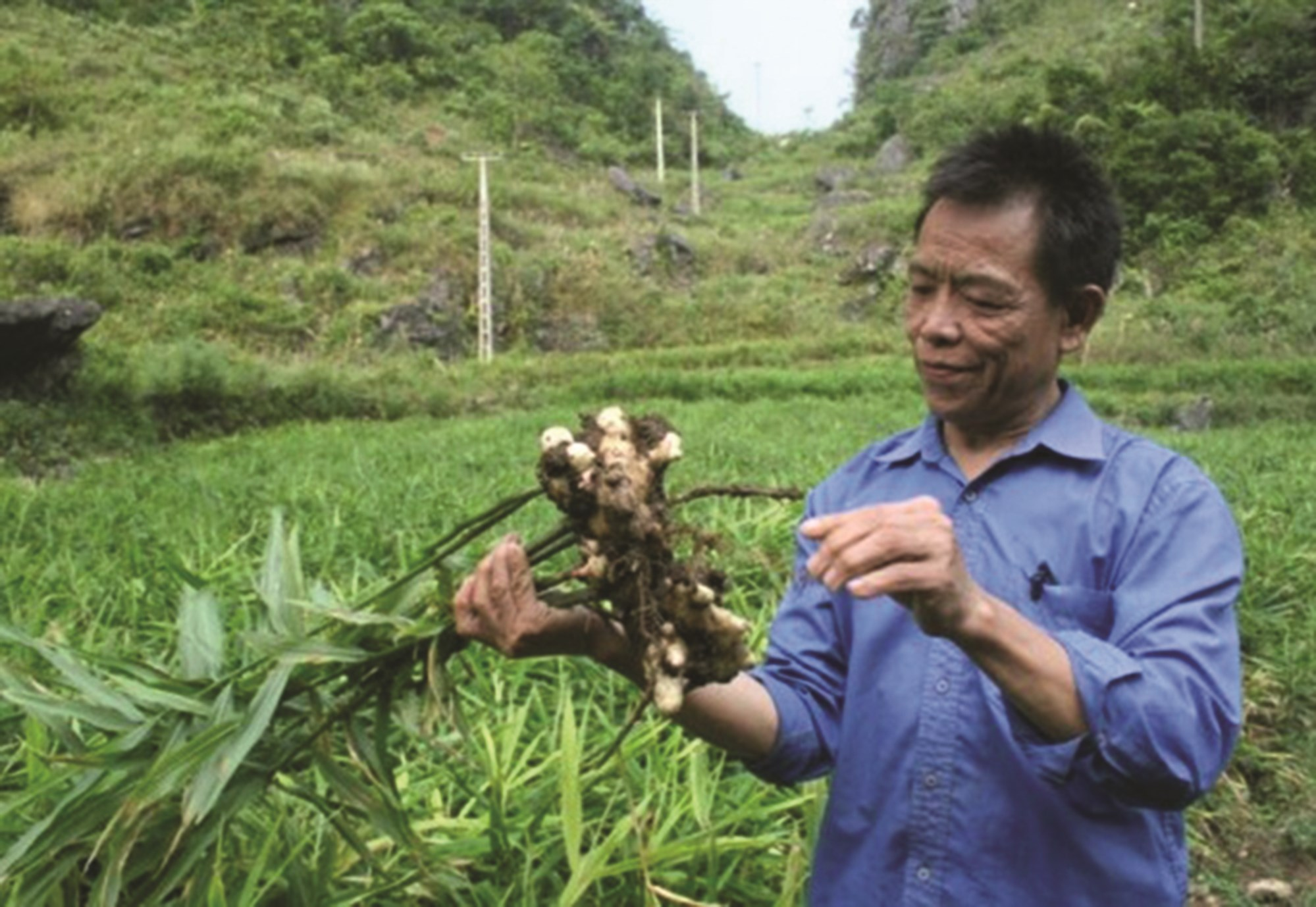 Mô hình trồng gừng hữu cơ giúp người dân xã Vân An, huyện Hà Quảng (Cao Bằng) có thu nhập ổn định.