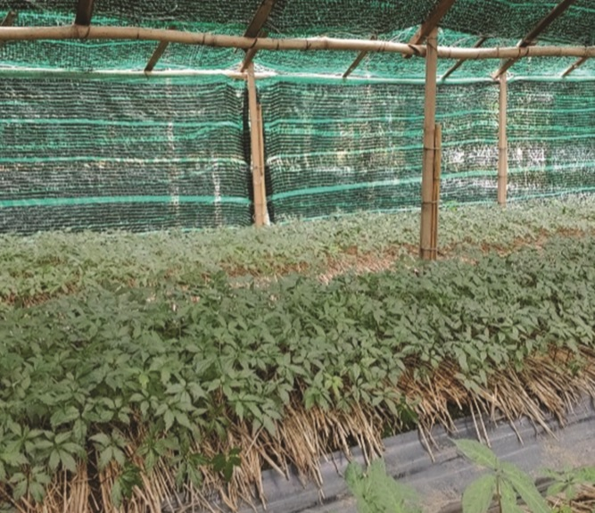 Vườn sâm Ngọc Linh tại xã Đạ Sar, huyện Lạc Dương.
