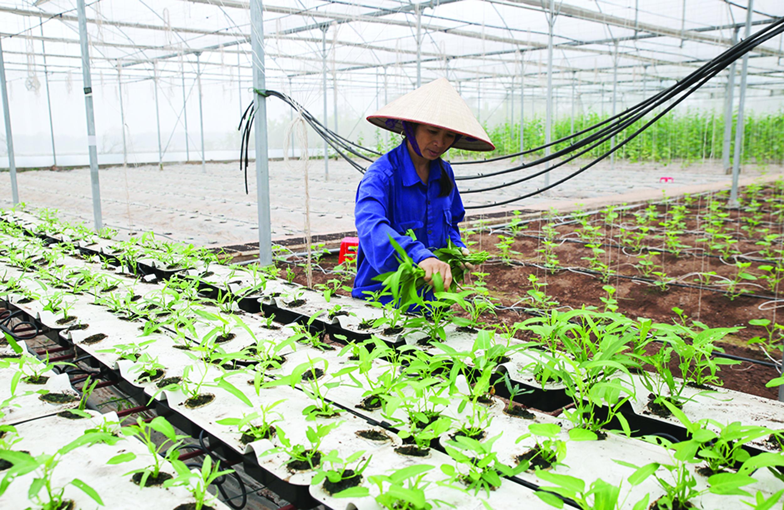 Ứng dụng công nghệ cao trồng rau muống thủy canh trong nhà màng tại HTX Rau, củ, quả sạch Mạnh Liên (Hương Nộn, Tam Nông, Phú Thọ).