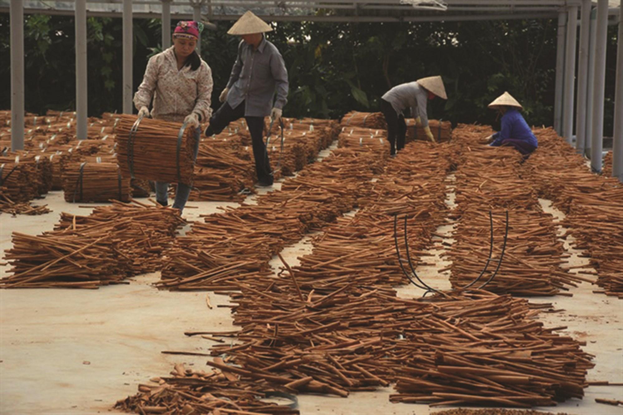 Sản xuất quế hồi ở Yên Bái.