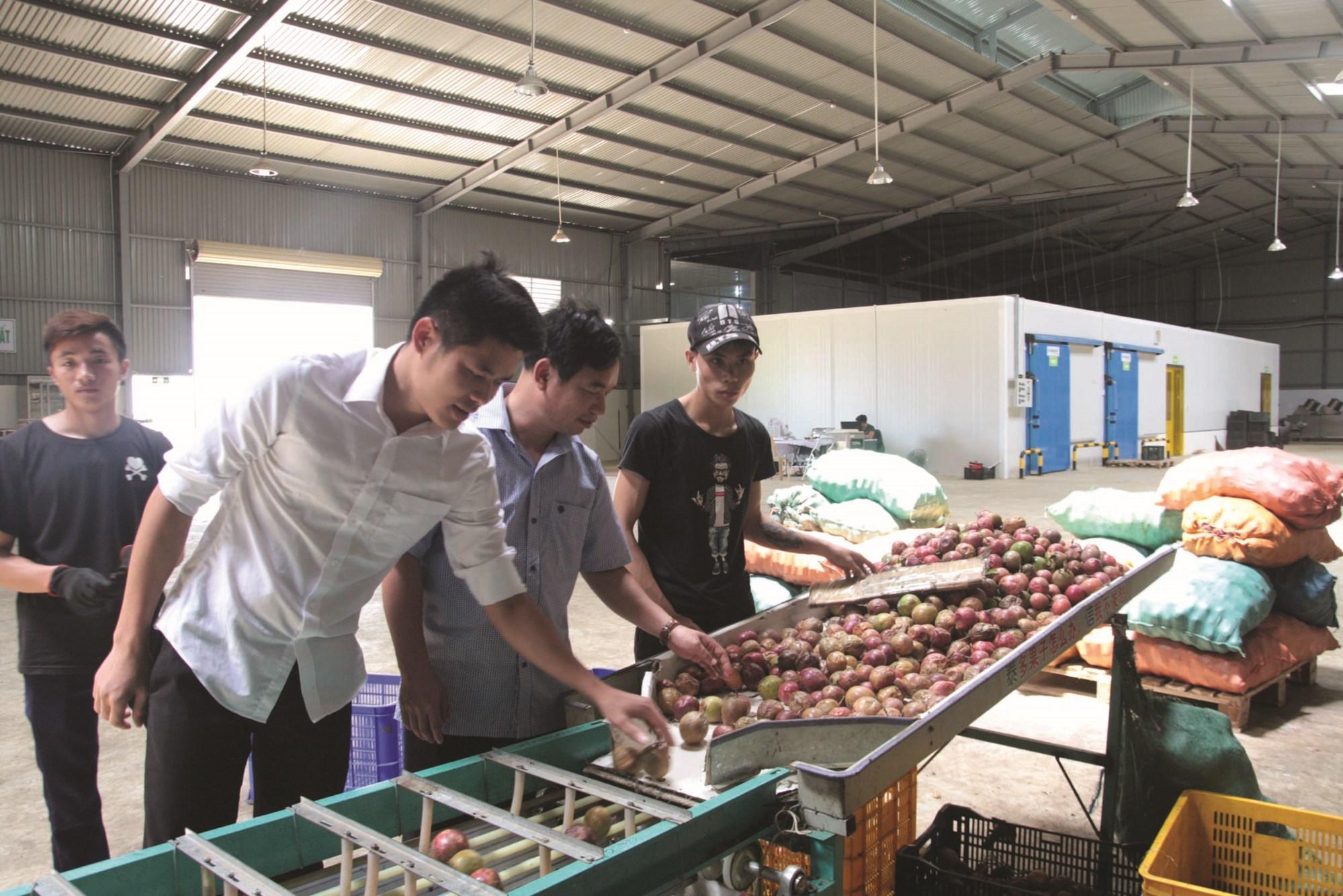 Quy trình chọn lọc sản phẩm chanh leo của Công ty CP Nafood Tây Bắc để cung ứng cho thị trường và xuất khẩu.