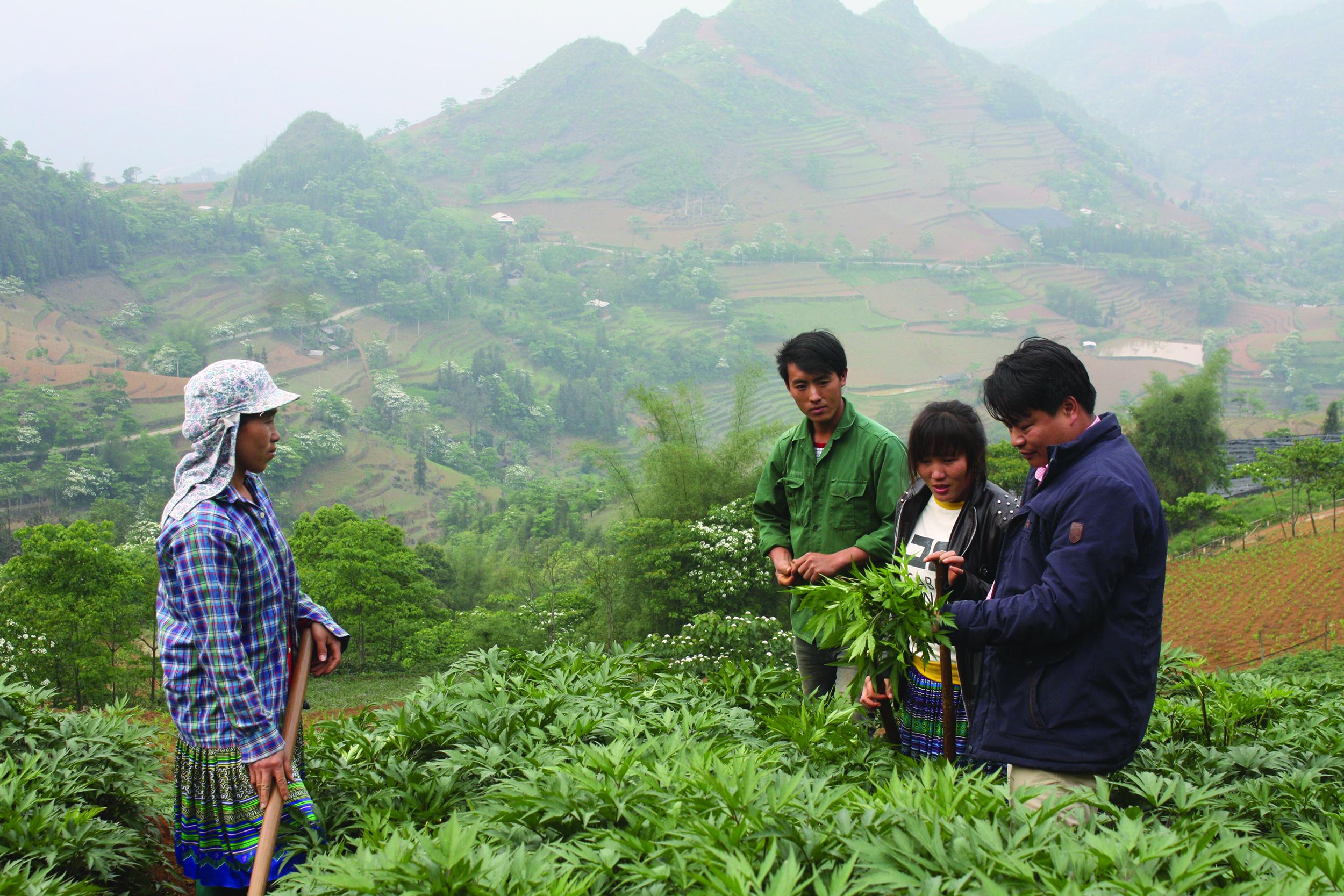 Mô hình trồng dược liệu đang mở ra hướng thoát nghèo bền vững cho đồng bào DTTS huyện Si Ma Cai.