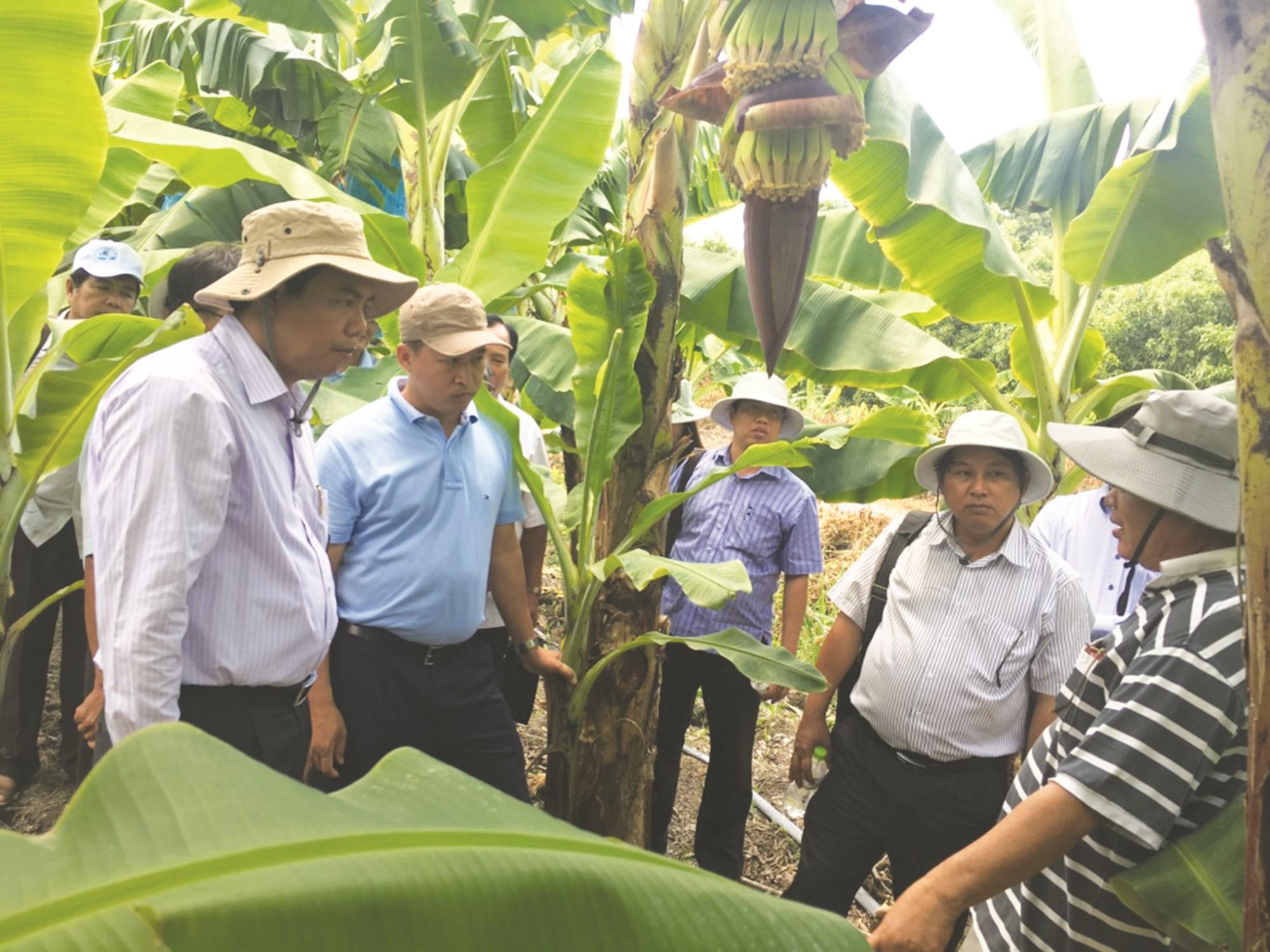 Ông Nguyễn Tiến Hải (người đứng bìa trái) - Chủ tịch UBND tỉnh Cà Mau khảo sát mô hình trồng chuối thuộc xã 135 Khánh Thuận, huyện U Minh (Cà Mau).