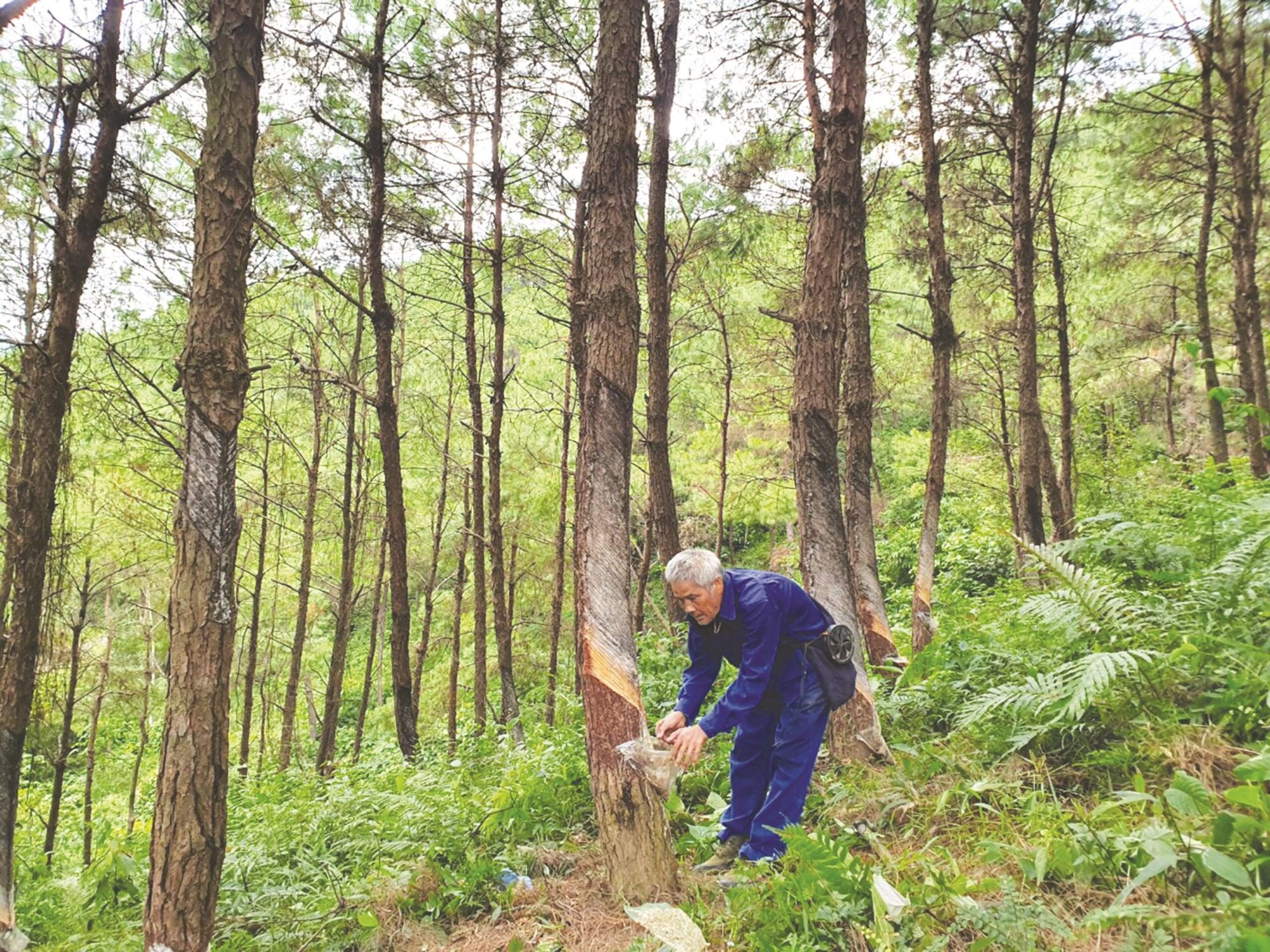Mỗi năm, người dân trồng rừng thu nhập hàng trăm triệu đồng từ bán nhựa thông và gỗ bóc.