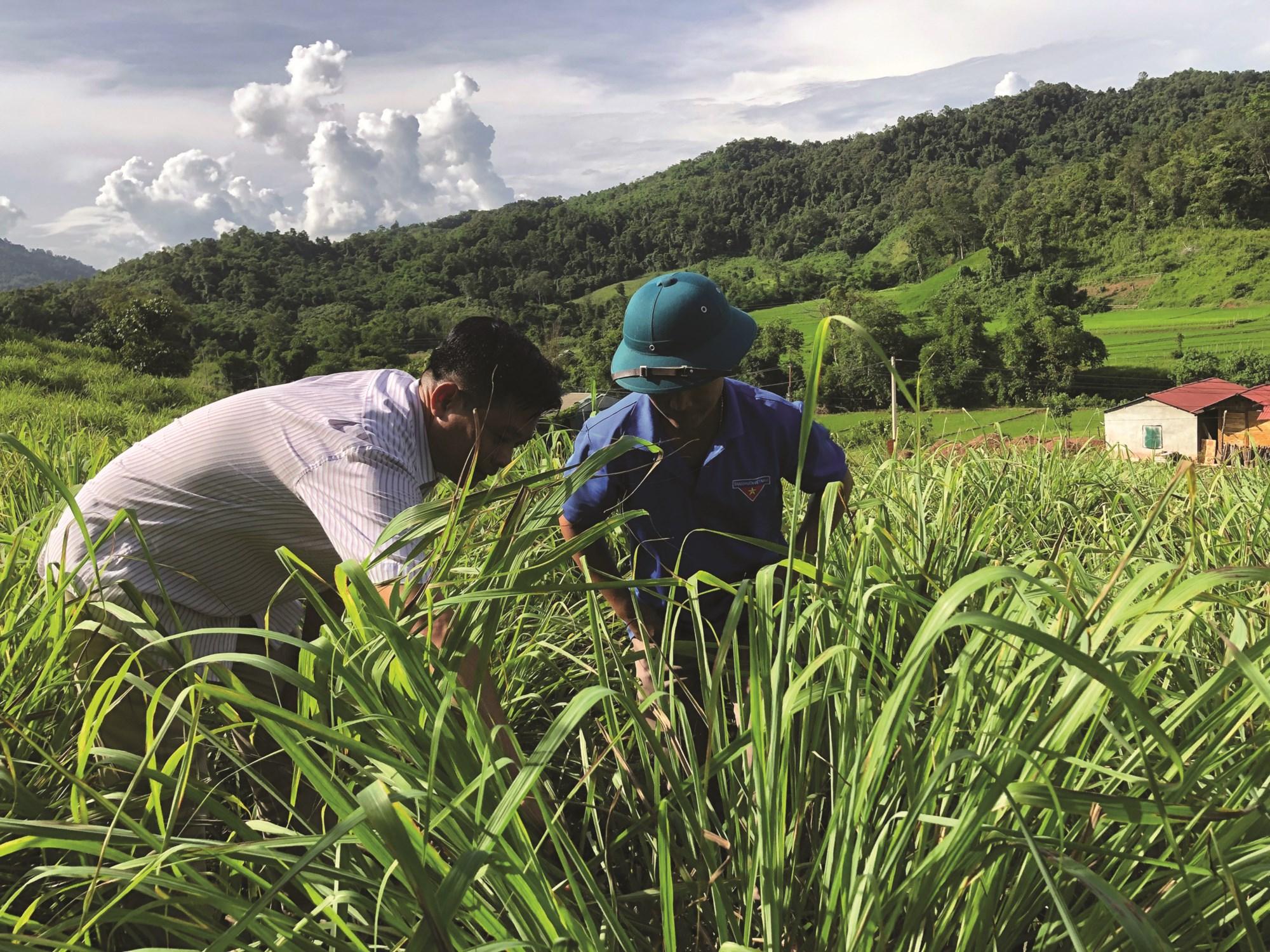 Mô hình trồng cây sả ở xã Leng Su Sìn bước đầu đem lại hiệu quả kinh tế.