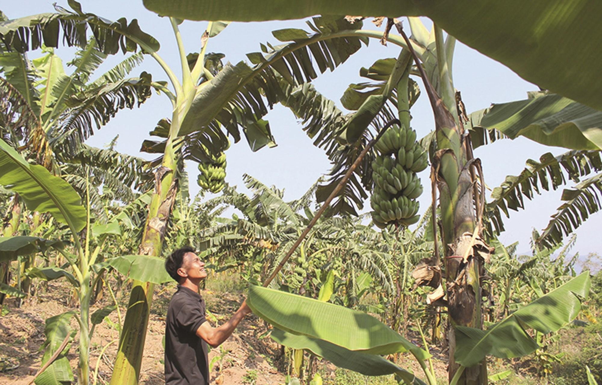 Mô hình trồng chuối của người dân miền núi Thừa Thiên-Huế cho thu nhập cao.