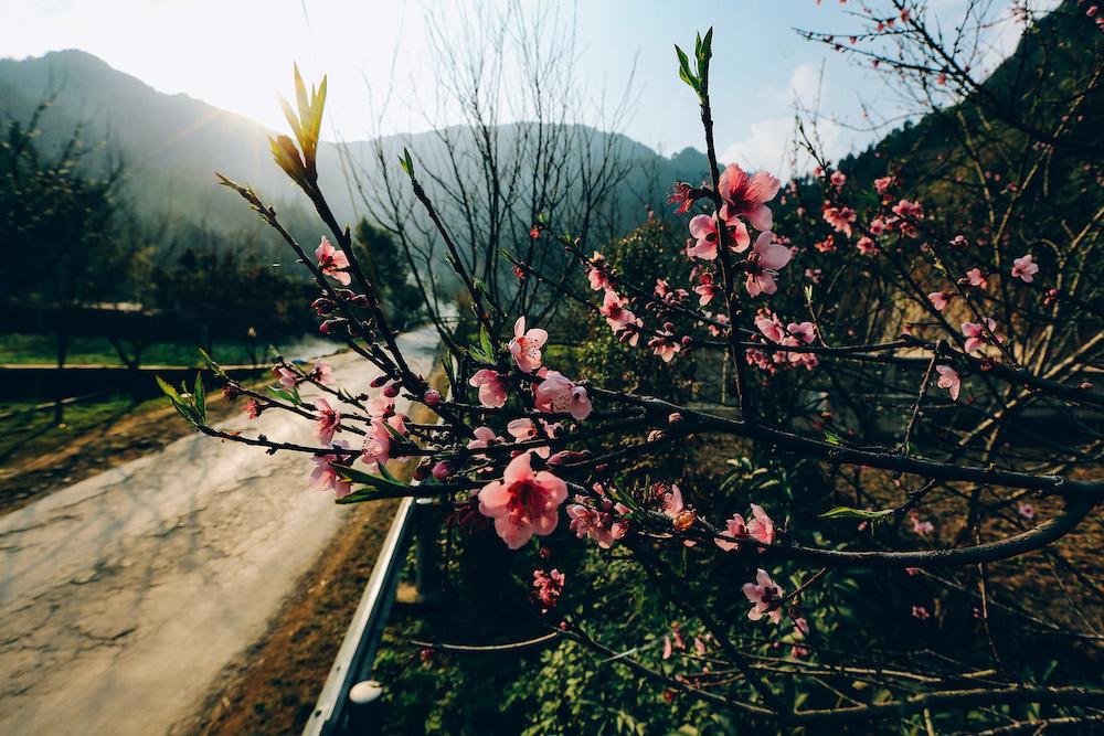 Những cánh đào rừng bung sắc trên những cung đường mời gọi du khách khám phá, chiêm ngưỡng vẻ đẹp của bản làng vùng cao Hà Giang
