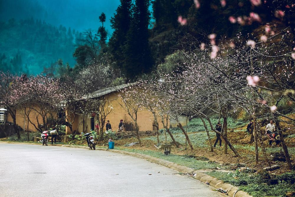 Mỗi độ xuân về, hàng ngàn cây đào rừng bung nở khoe sắc trên cao nguyên đá Đồng Văn.