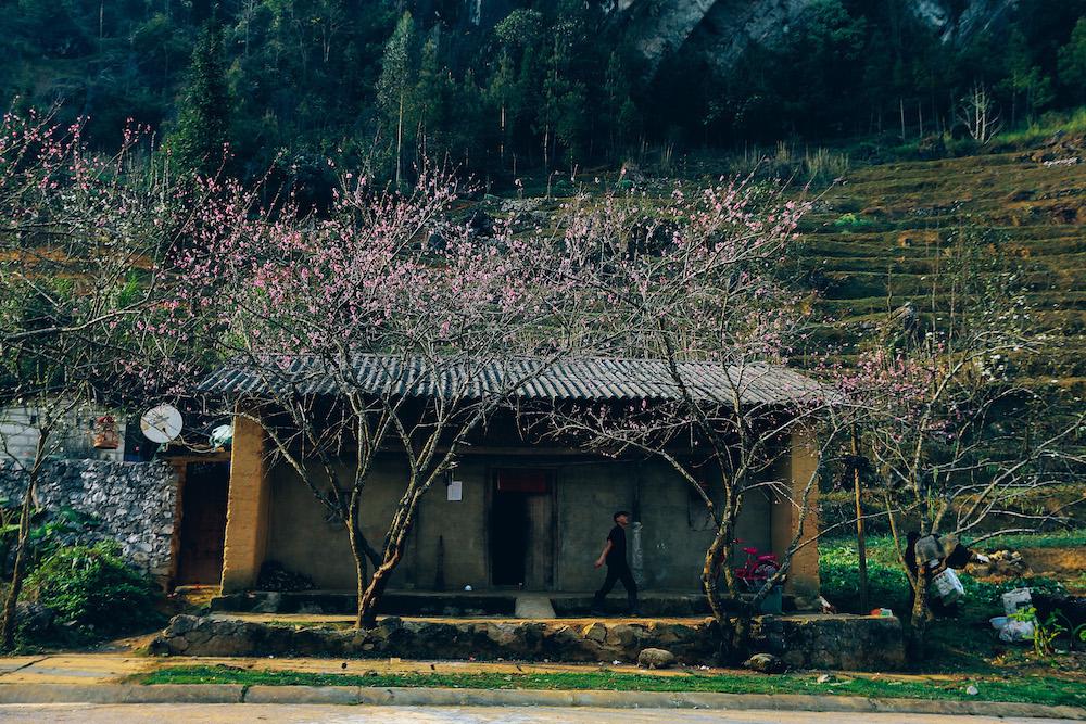 Trên những cung đường Quản Bạ, Yên Minh lên Đồng Văn, Mèo Vạc hay những bản Lao Sa, Sủng Là đều rộn ràng trong sắc hoa đào.