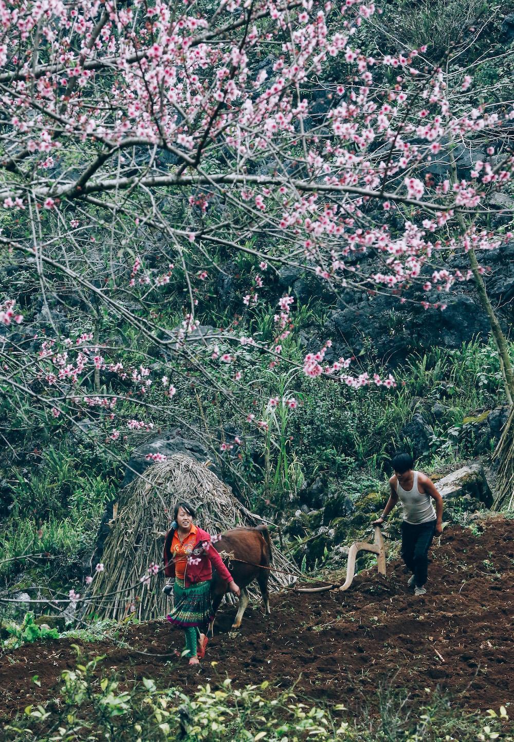 Thời điểm hoa đào nở cùng vào thời điểm đồng bào các dân tộc vào vụ lúa xuân.