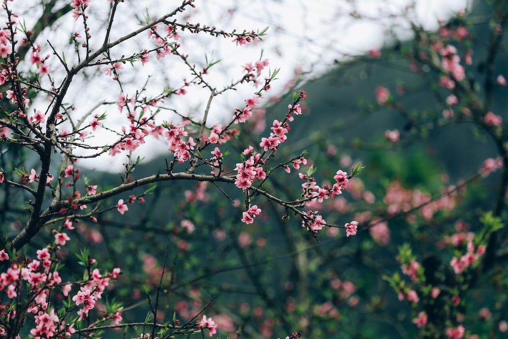 Đào rừng Hà Giang không giống đào bích, nó chỉ có năm cánh nhưng lại nở to, nở dày trên các thân cây khẳng khiu, rêu mốc.