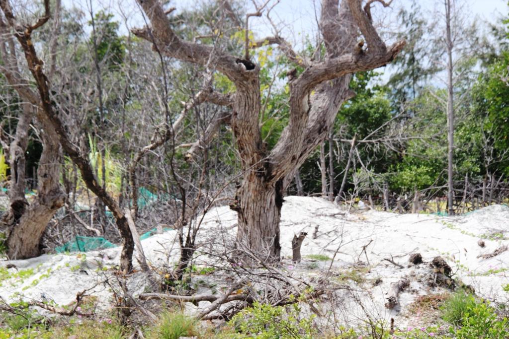 """Nhiều cây bần cổ thụ bị """"bức tử"""""""