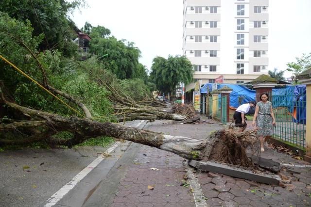 Hàng cây si có tuổi đời 20-25 năm trên tuyến phố Phan Bội Châu, TP. Lào Cai bị đổ