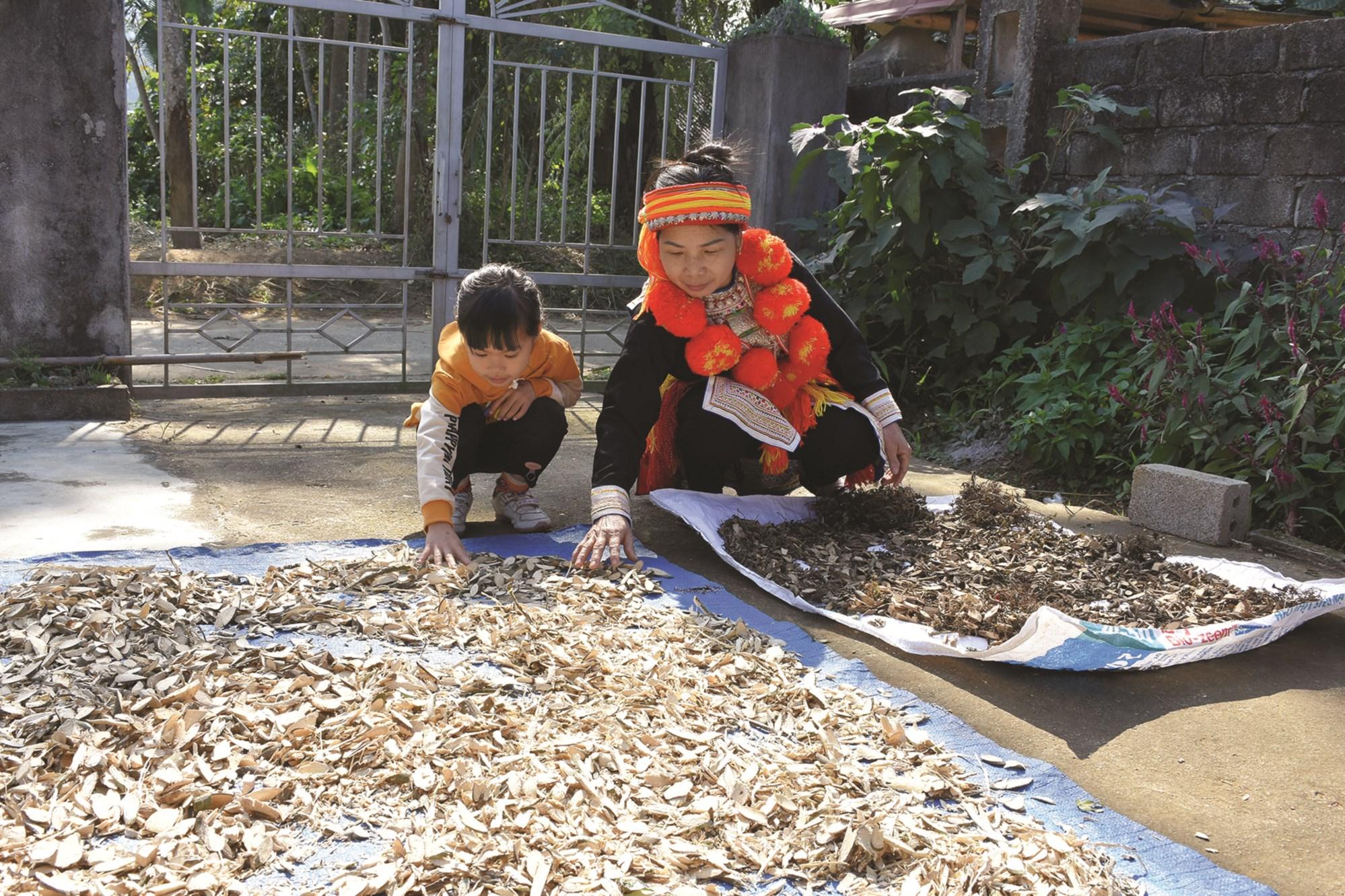 Mế Triệu Thị Lưu, thôn Bản Nầy, xã Năng Khả (Na Hang) đang phơi các vị thuốc Nam của dân tộc Dao.