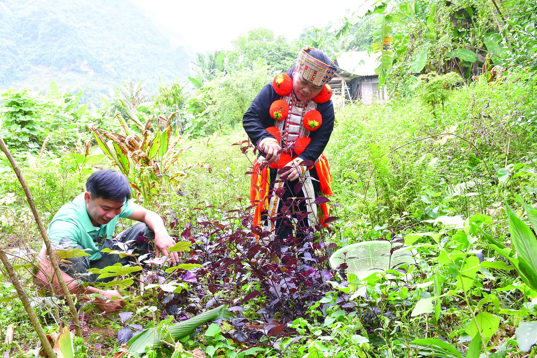Nhiều cây thuốc Nam quý hiếm trong tự nhiên đã được đồng bào Dao trồng thành công trong vườn nhà.
