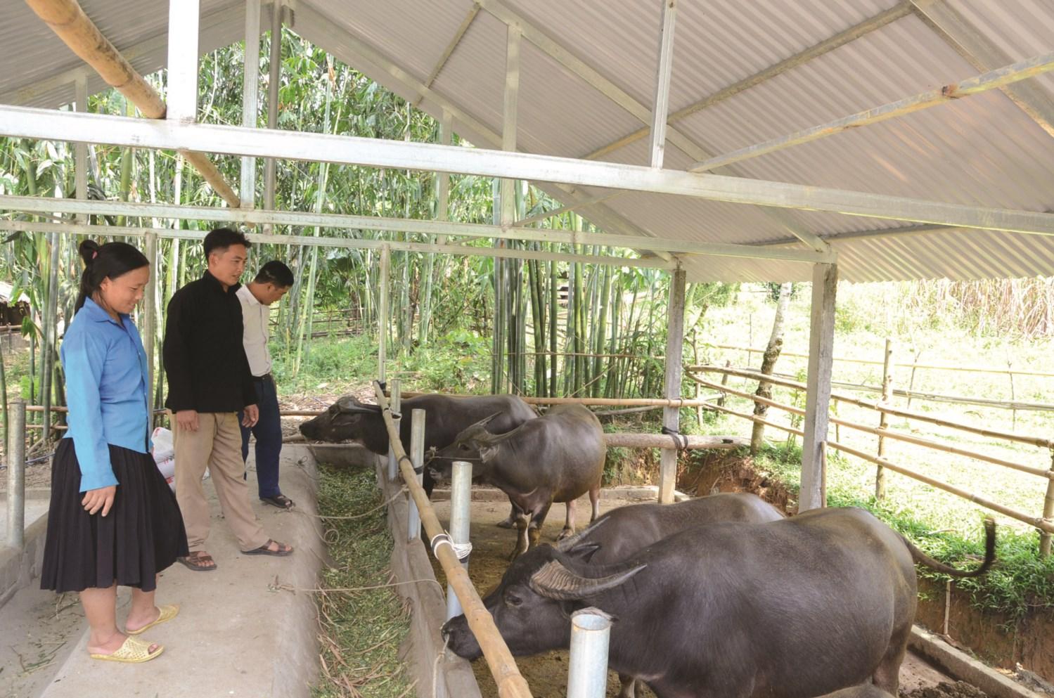 Mô hình nuôi trâu vỗ béo của gia đình anh Cháng A Bào thôn Tiên Tốc mang lại hiệu quả kinh tế cao