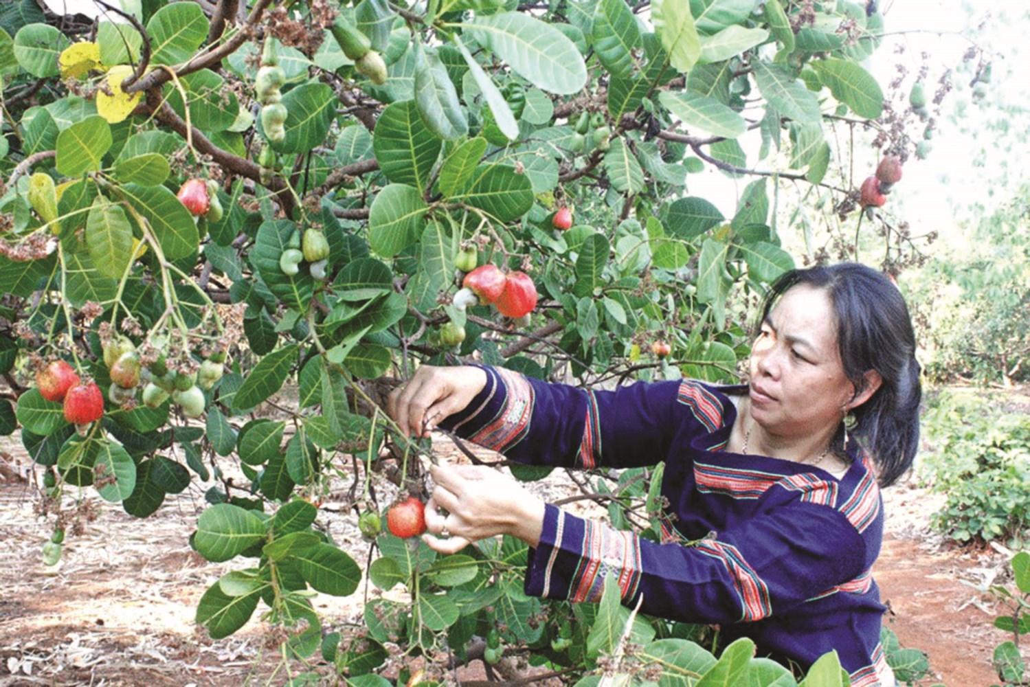 Sản xuất điều vùng DTTS tham gia vào xuất khẩu nông sản