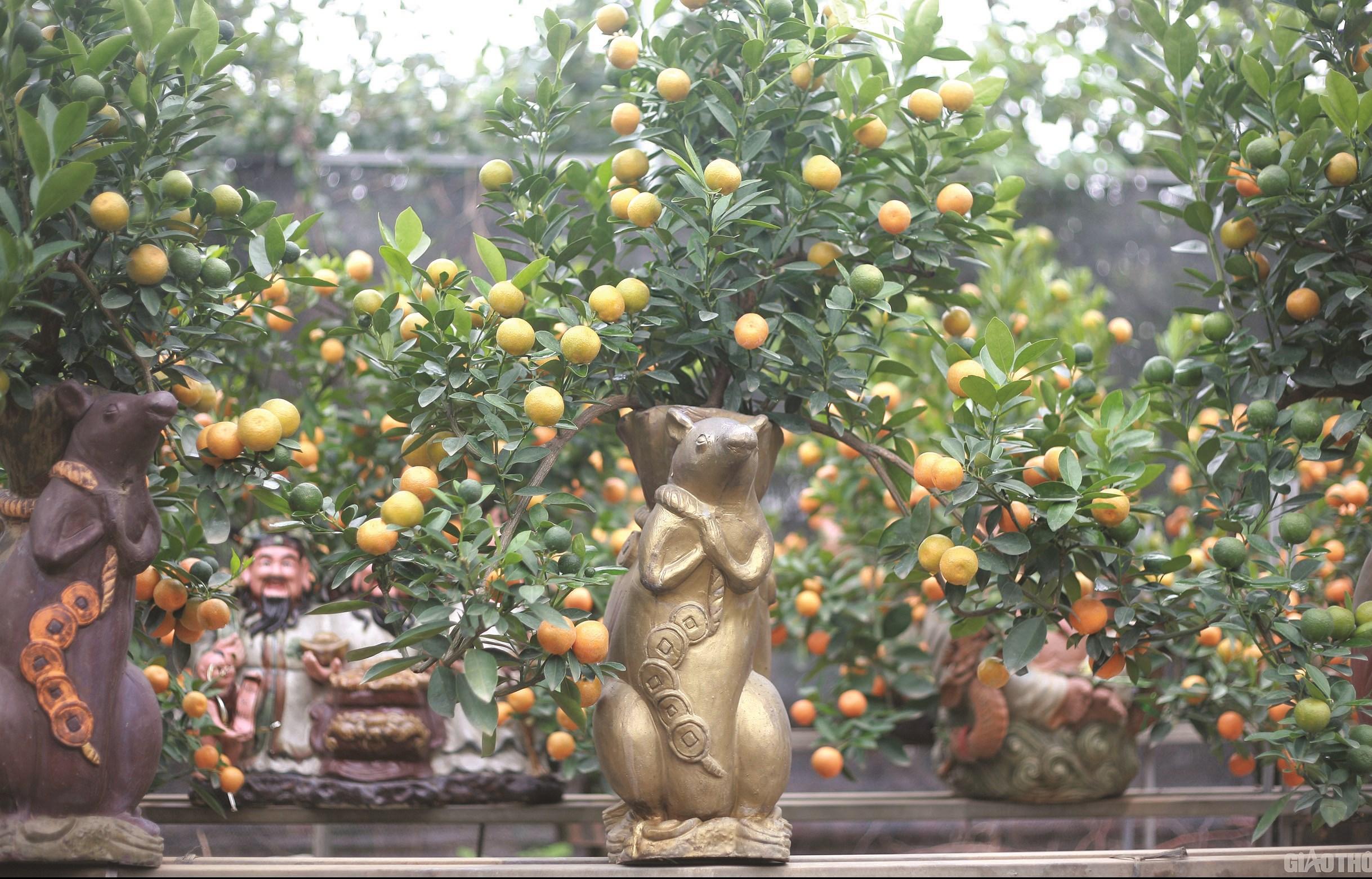 """Chuột vàng """"cõng"""" quất bonsai đón Xuân Canh Tý"""