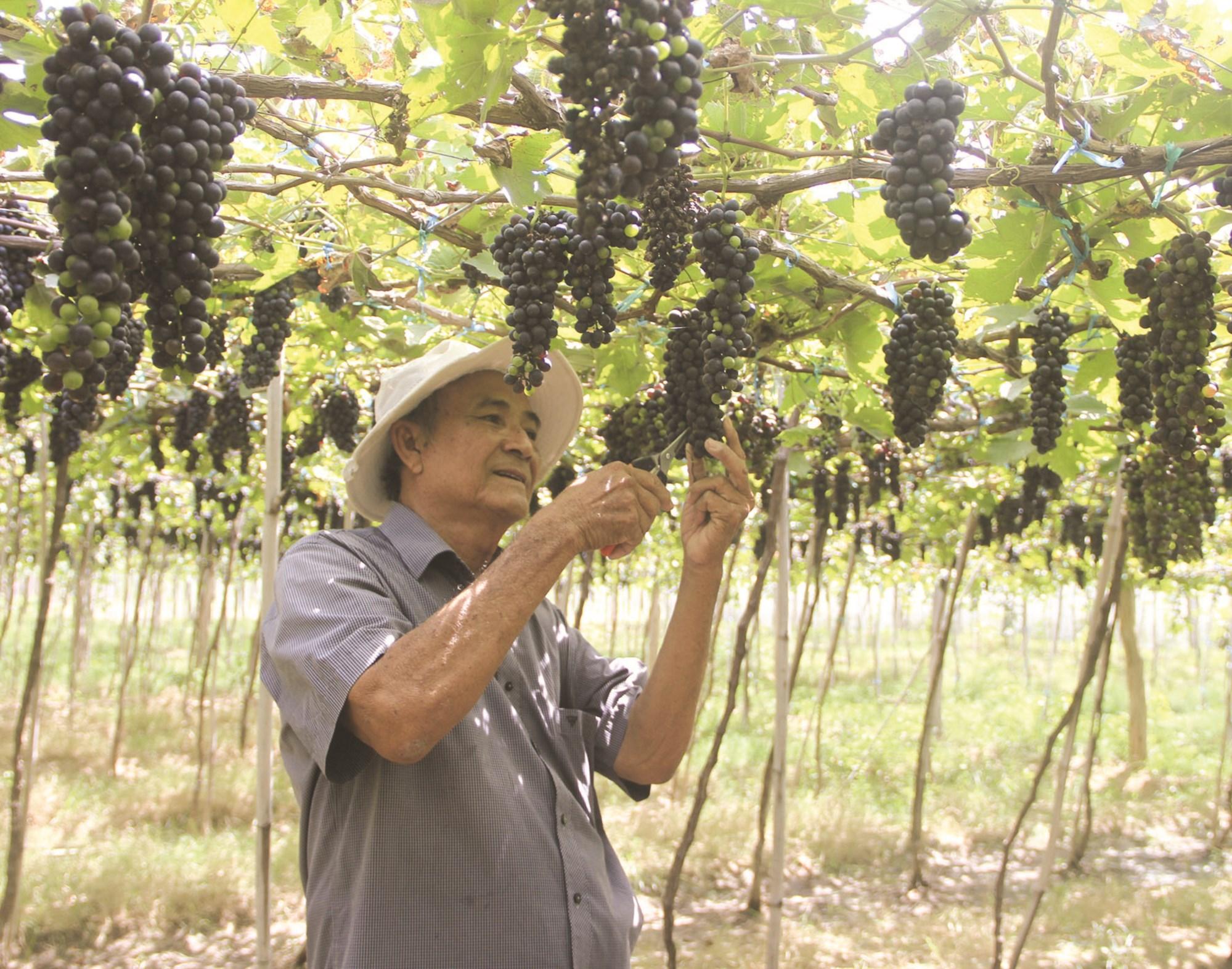 Ông Nguyễn Văn Mọi là một điển hình làm giàu từ nho ở vùng đất Ninh Thuận