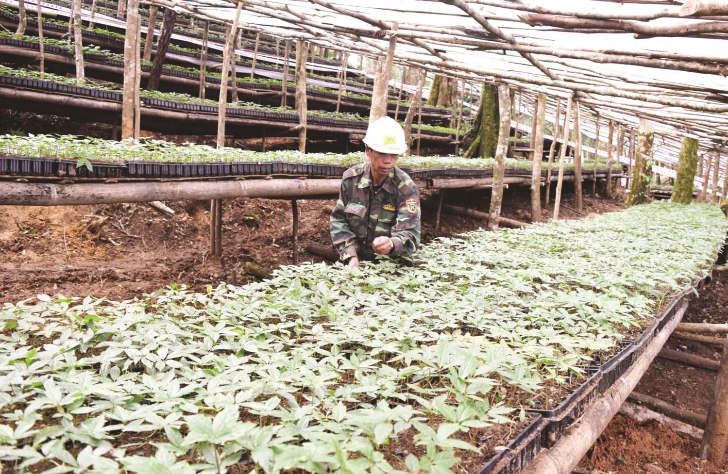 Vườn Sâm Ngọc Linh giống của Công ty CP SNL Kon Tum trên núi Ngọc Linh, thuộc địa phận huyện Tu Mơ Rông