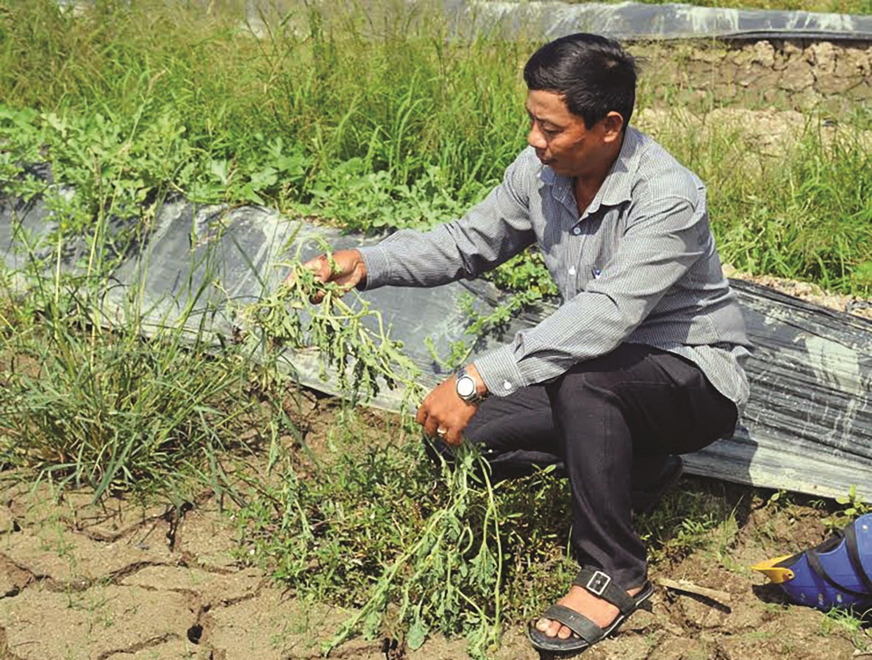 Ông Quách Vĩnh Phương, Chi hội nông dân ấp 5, xã Trần Hợi kiểm tra ruộng dưa của nông dân sắp chết do thiếu nước tưới