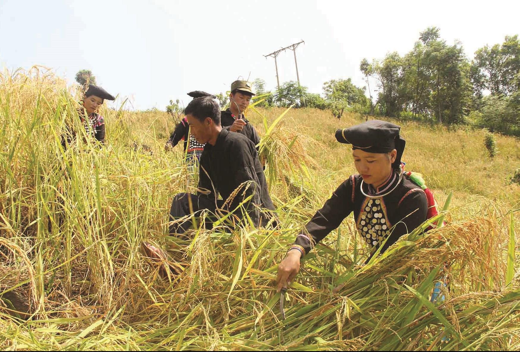Không có đất làm ruộng, người dân TĐC tại xã Kan Hồ phải làm nương, mùa màng bấp bênh theo thời tiết