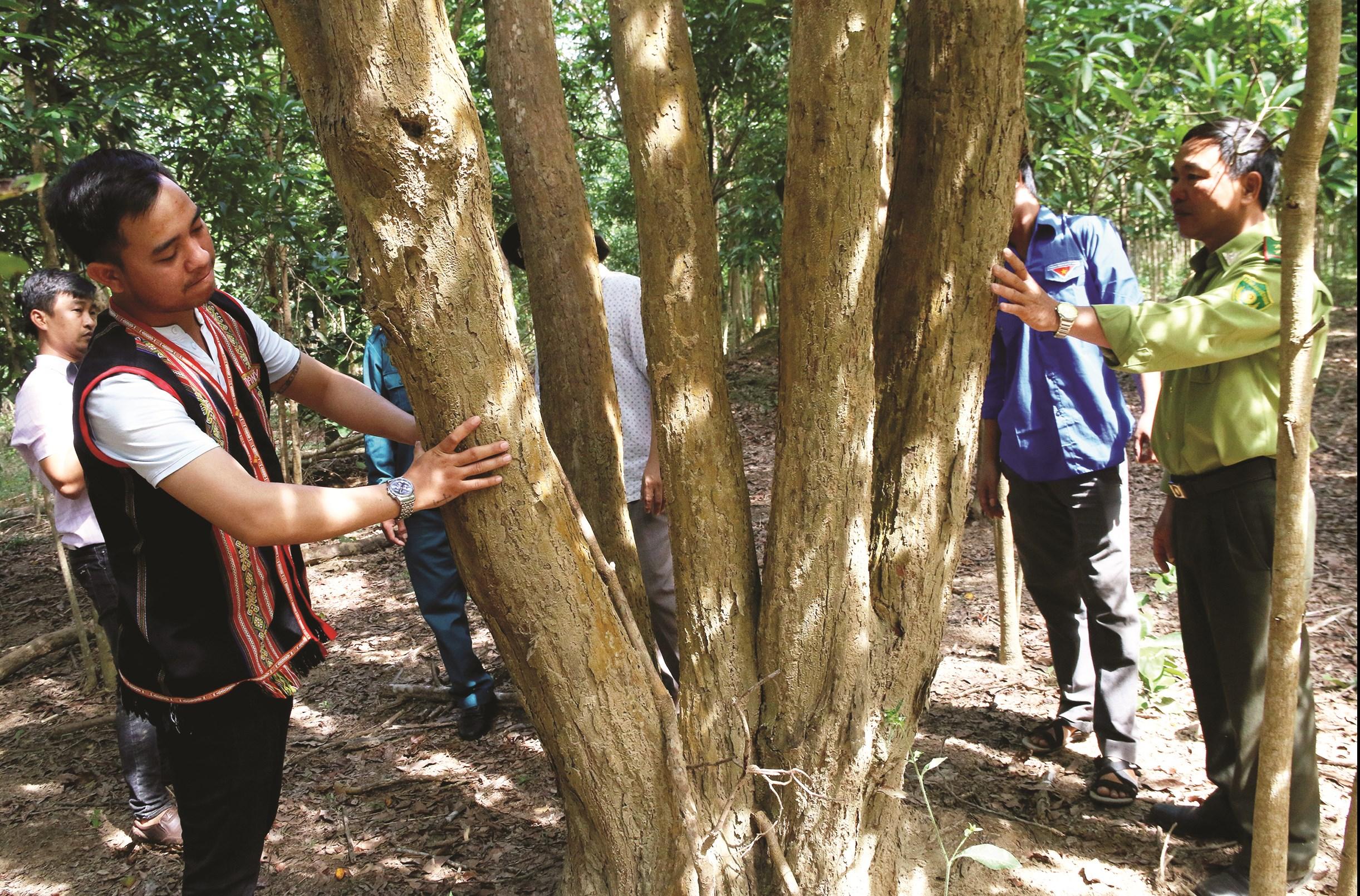 Những cây gỗ trắc hàng chục năm tuổi đang sinh trưởng và phát triển trong rẫy nhà dân