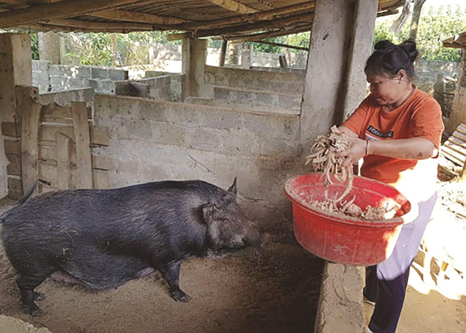 Lợn nuôi bằng thảo dược của các hộ ở Lỗ Sơn luôn được khách đặt hàng trước