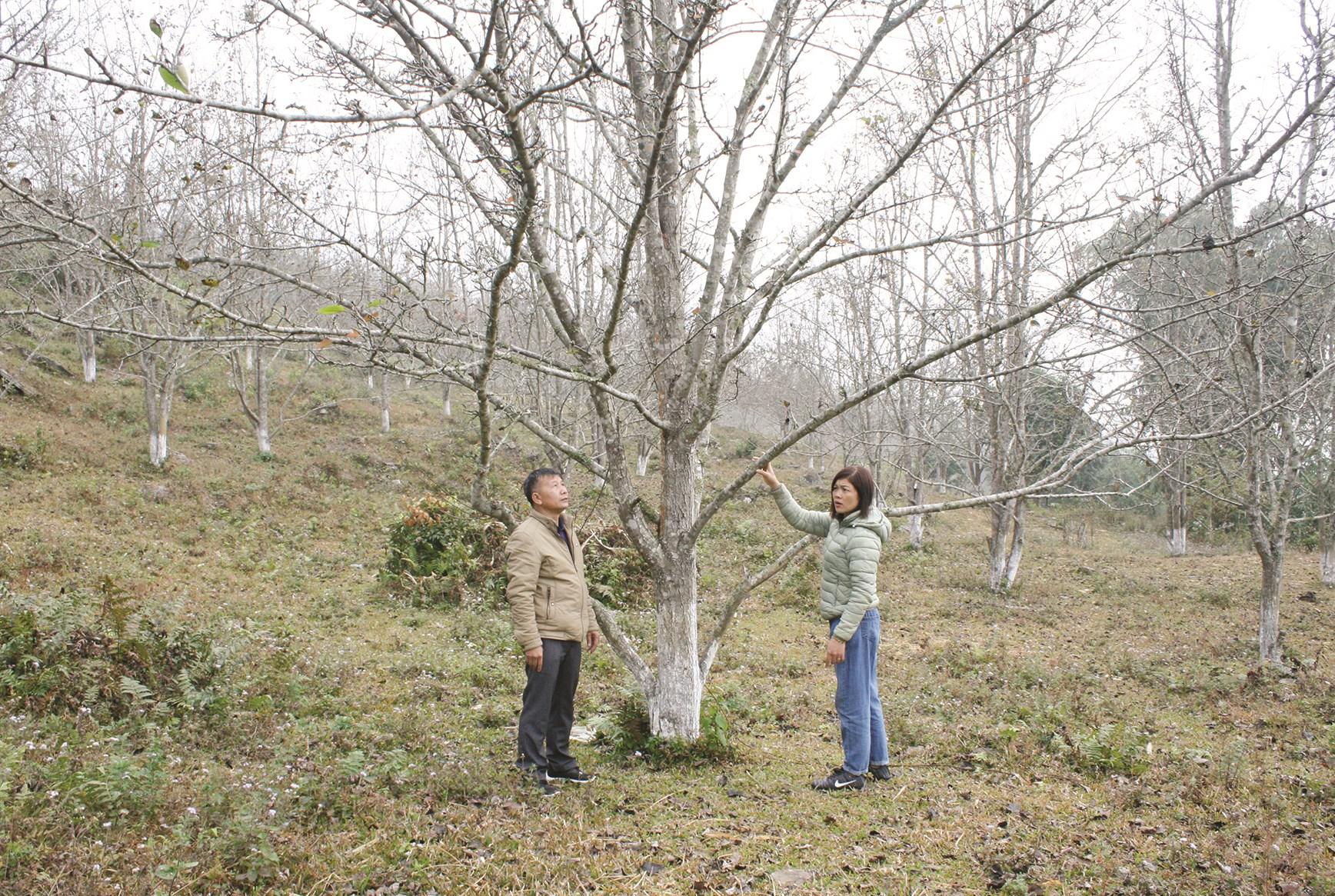 Người dân Hồng Thái đang chăm sóc cây lê