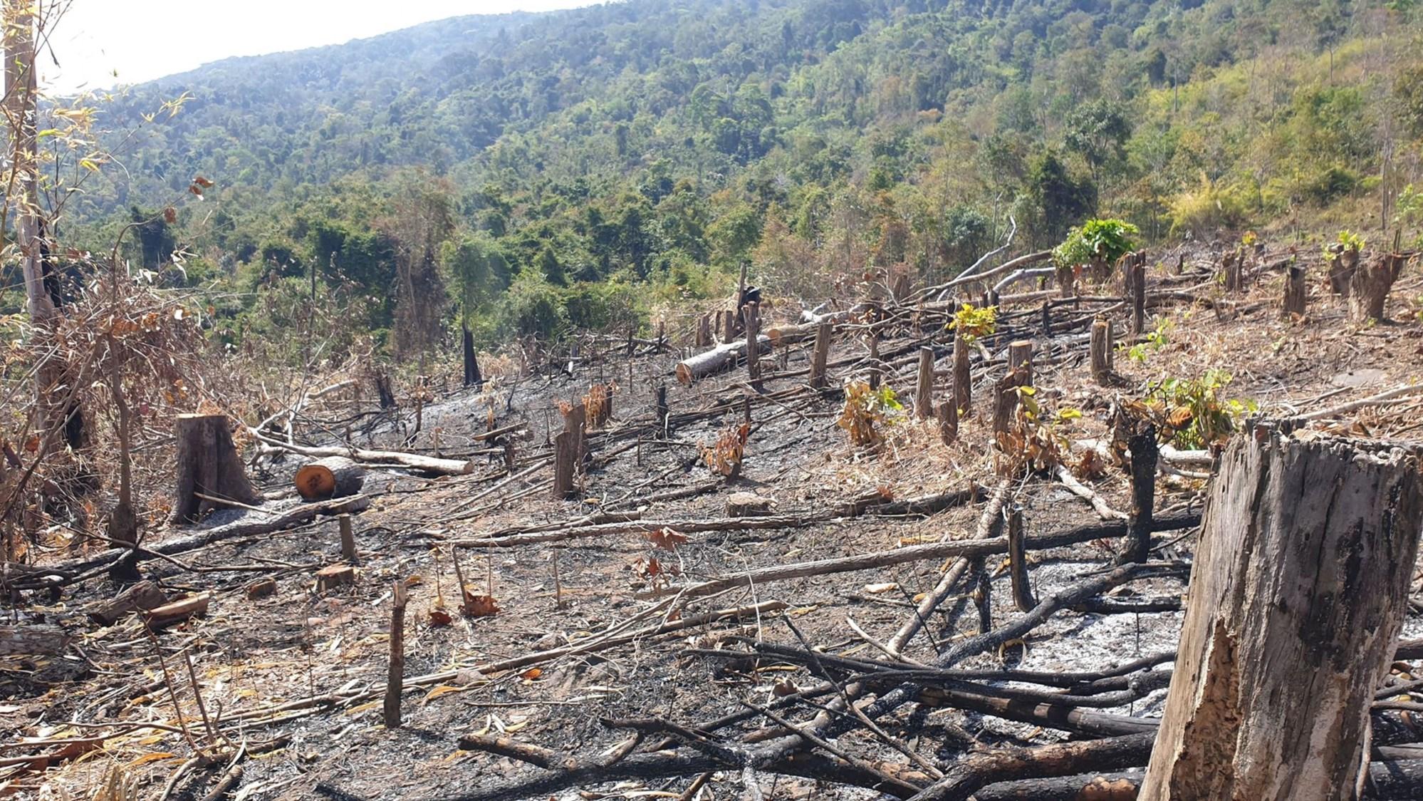Những cây gỗ lớn bị chặt hạ.
