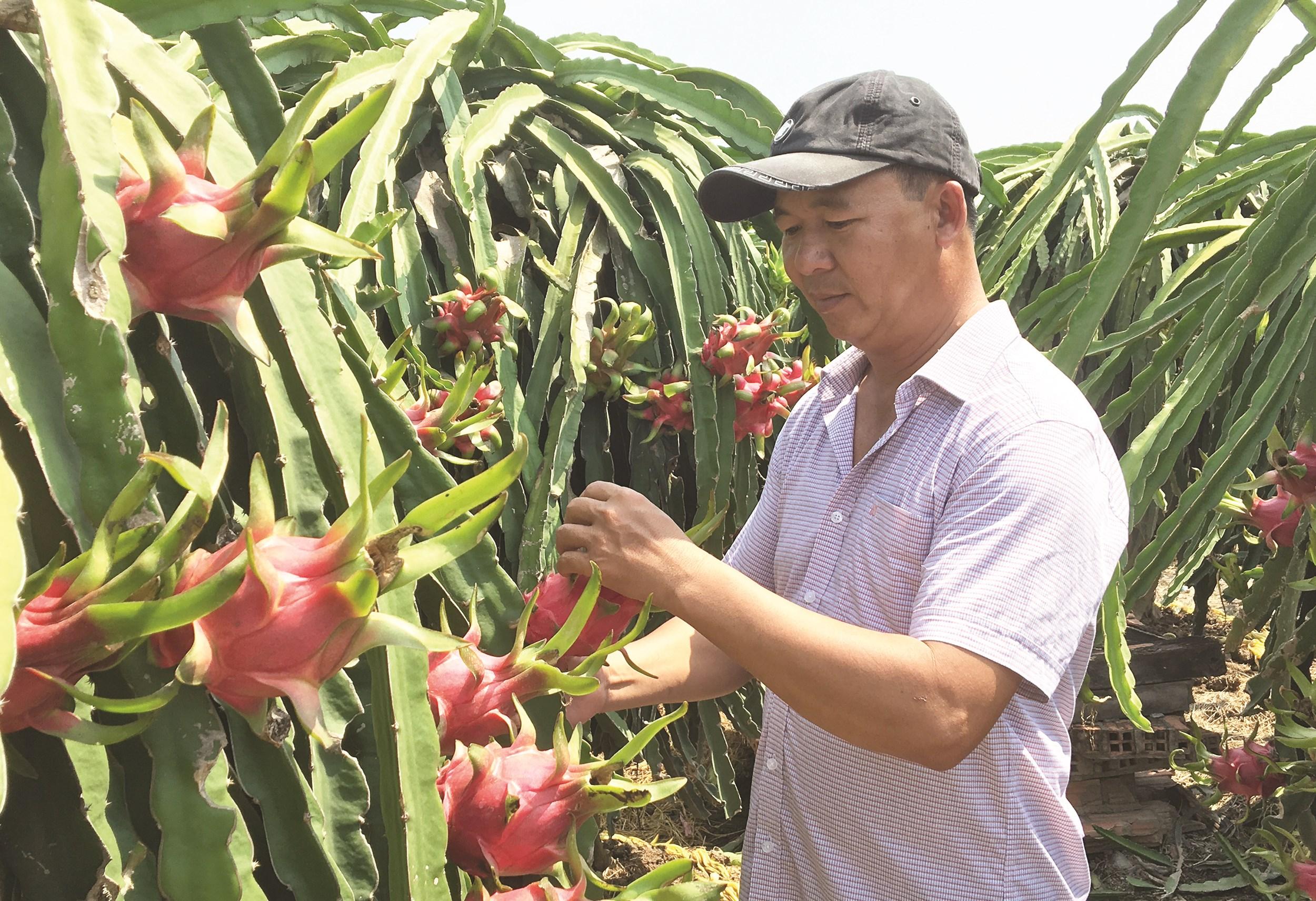 Sau khi rớt giá, những ngày gần đây, giá thanh long bất ngờ tăng giá khiến người nông dân nửa mừng nửa lo