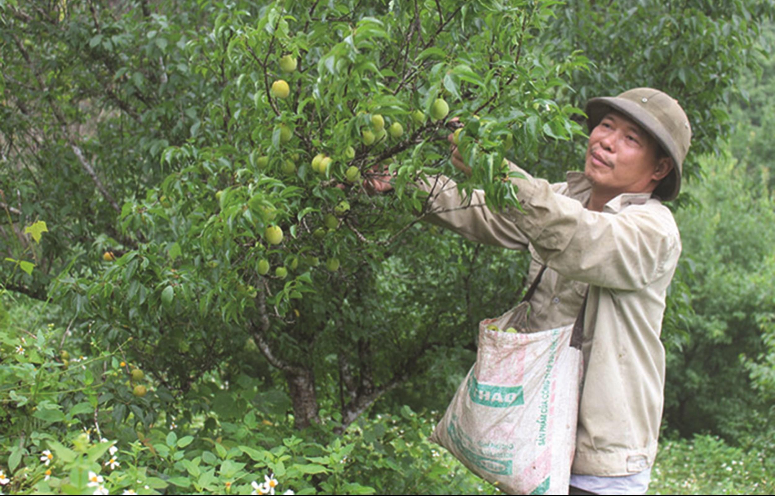 Mơ vàng - loại cây trồng tiềm năng của Bắc Kạn đang mở ra cơ hội lớn cho người nông dân