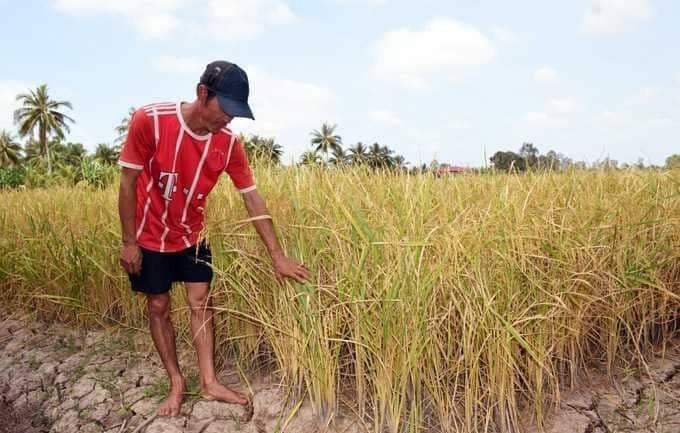Các trà lúa bị ảnh hưởng nghiêm trọng bởi khô hạn và xâm nhập mặn