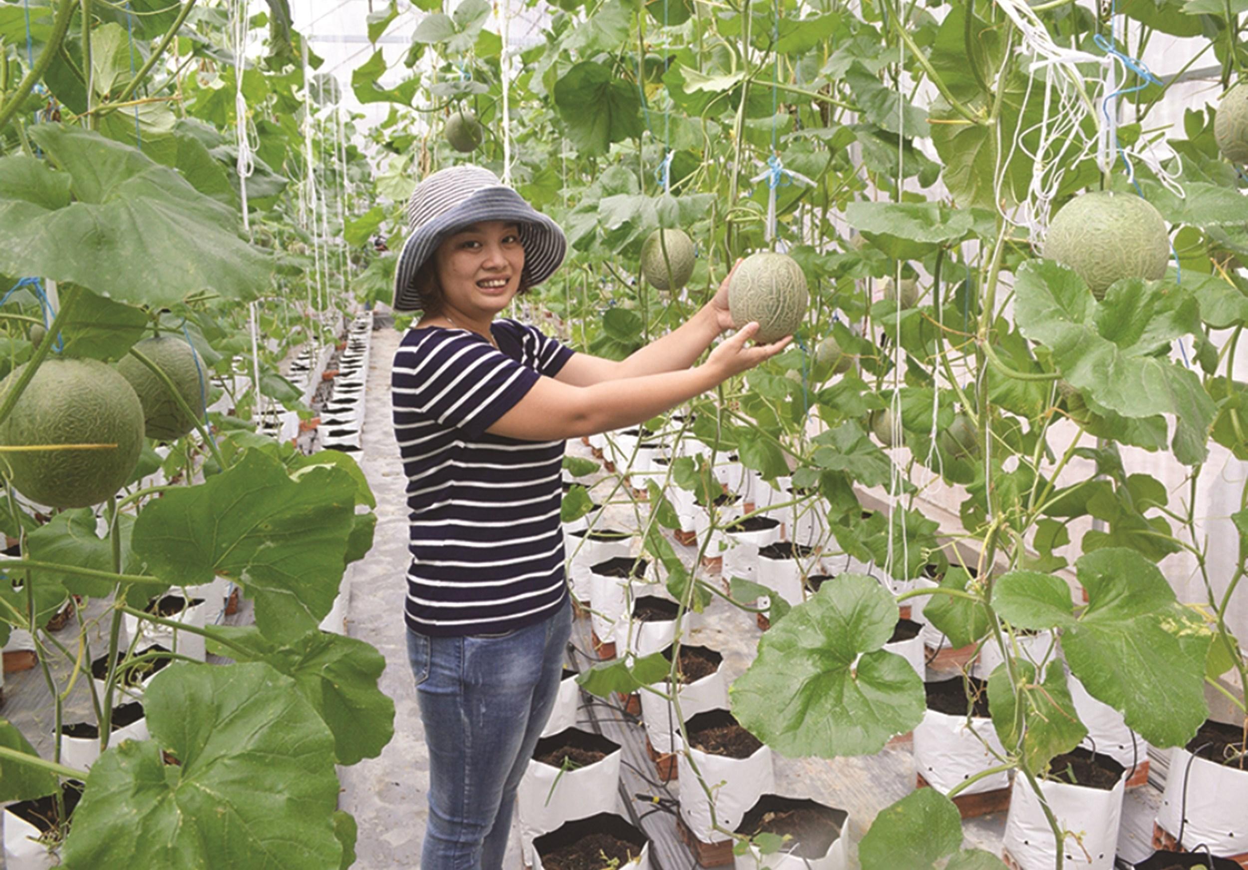 Mô hình trồng dưa lưới CNC của anh Nguyễn Vũ Xuyên ở ấp Đại Trường, xã Phú Cần, huyện Tiểu Cần bước đầu mang lại hiệu quả kinh tế cao