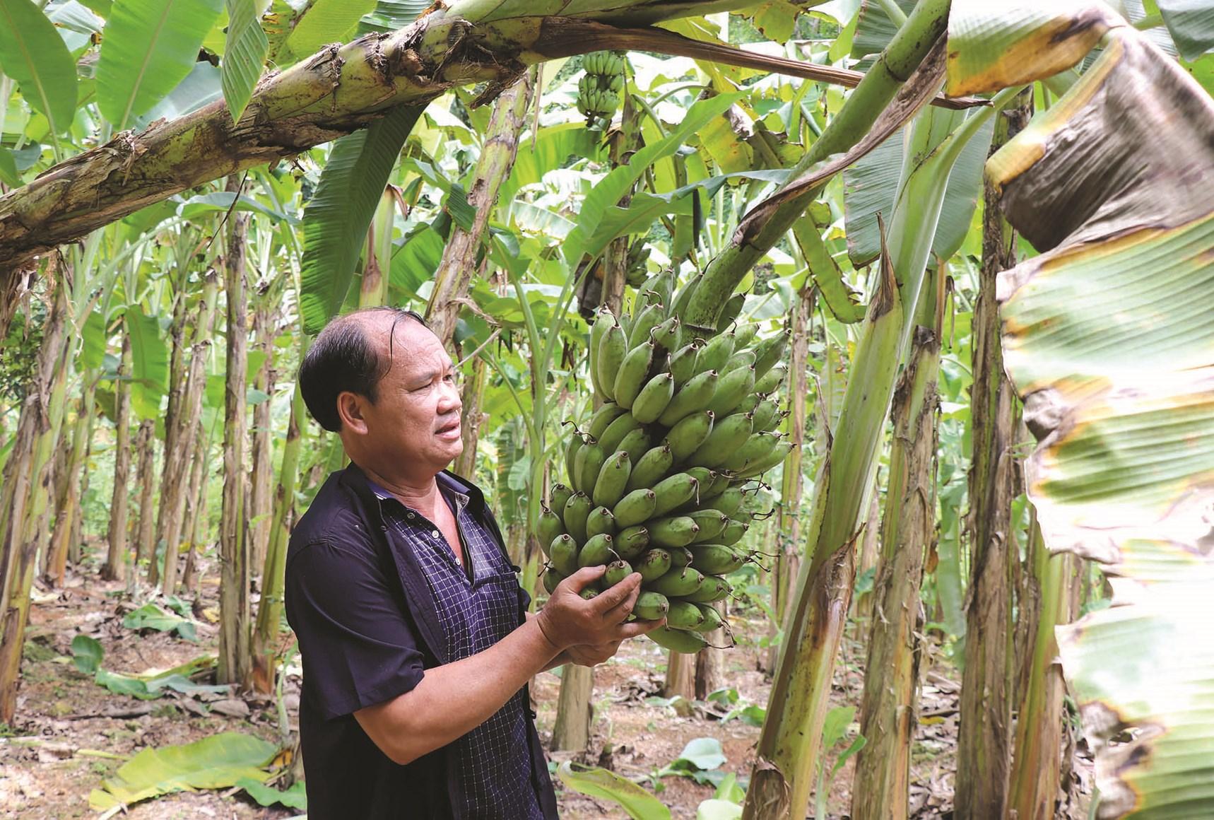 Ông Hà Quốc Vượng với mô hình chuối tây Thái Lan