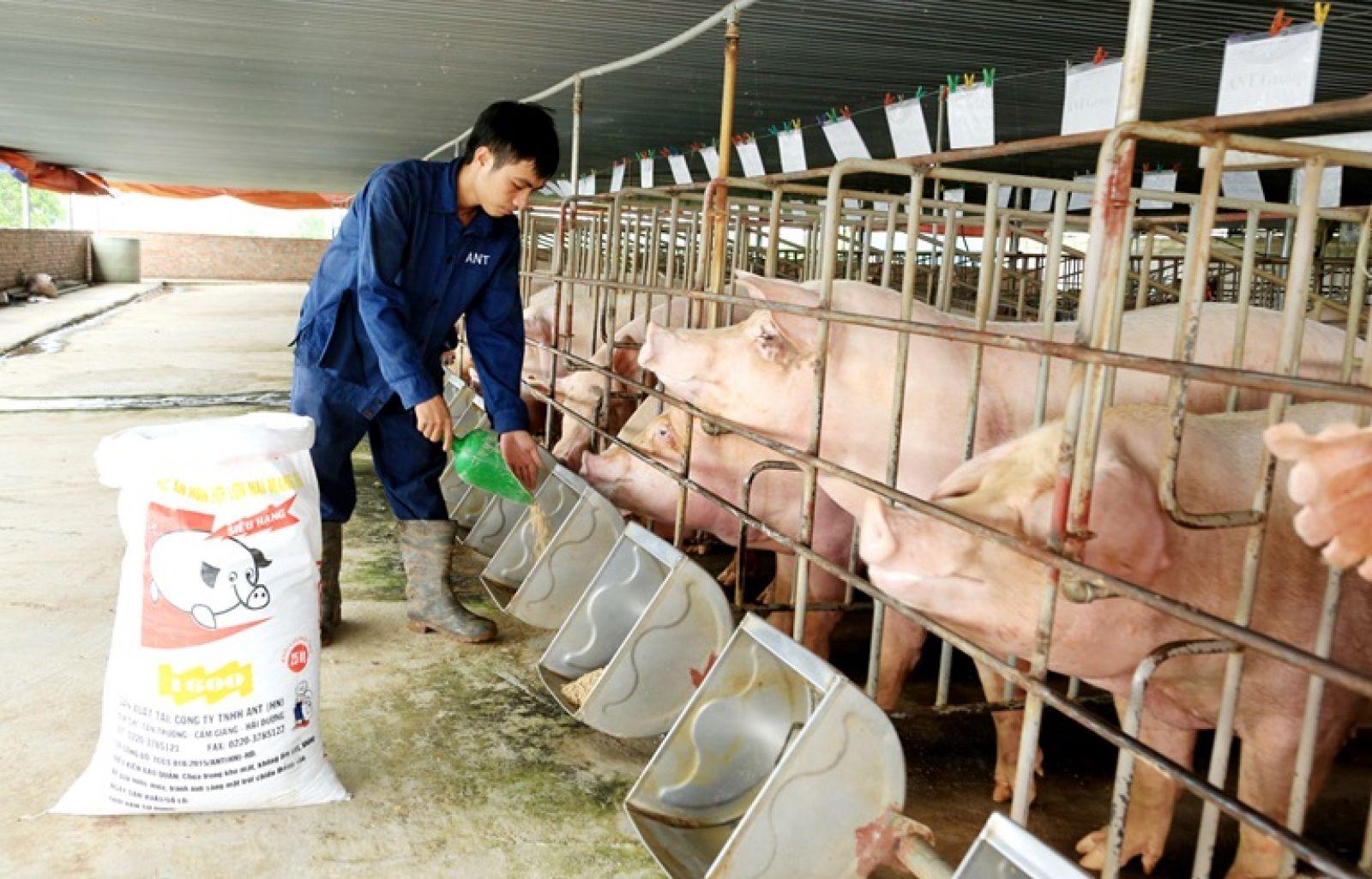 Công tác tái đàn lợn ở các địa phương đang diễn ra thuận lợi. Ảnh minh họa