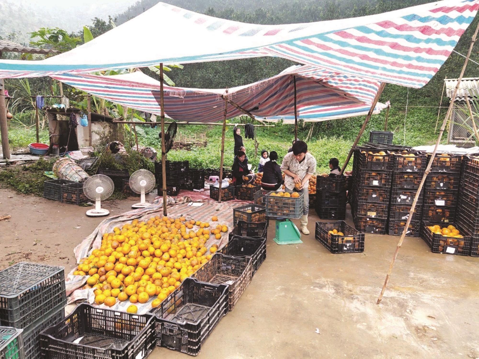 Các thành viên HTX Nông dân trồng cam sạch xã Vĩnh Phúc nhân loại cam trước khi xuất bán.
