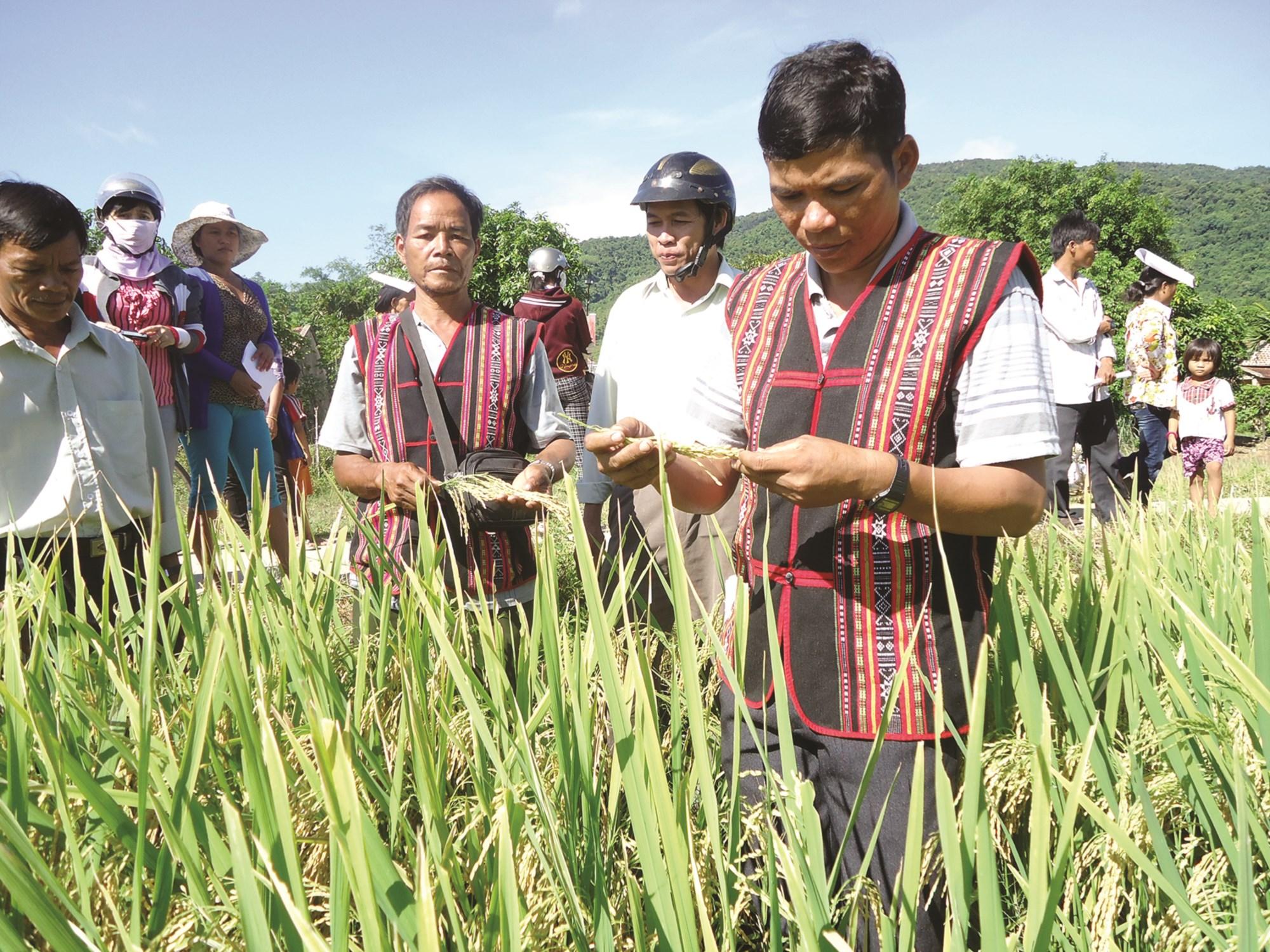 Việc hỗ trợ giống và chuyển giao khoa học kỹ thuật giúp cho đồng bào DTTS ở Vĩnh Thạnh trồng lúa nước đạt năng suất cao.