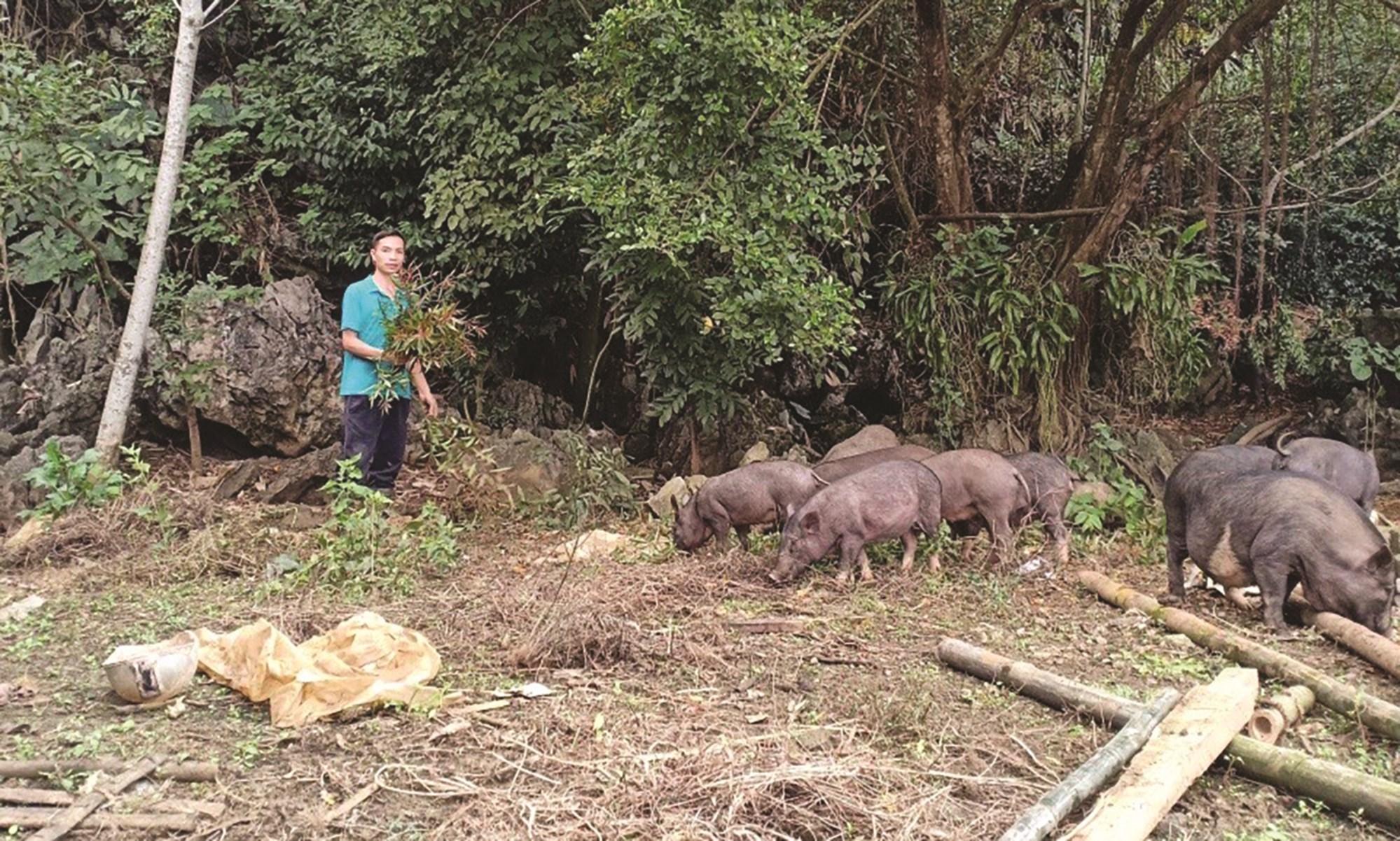 Anh Bùi Huy Chương dùng thảo dược trong chăn nuôi để tạo ra những sản phẩm chất lượng.