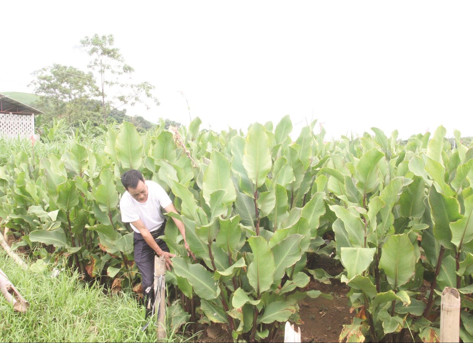 Người dân xã Minh Quang làm giàu từ mô hình trồng cây dong riềng để làm miến