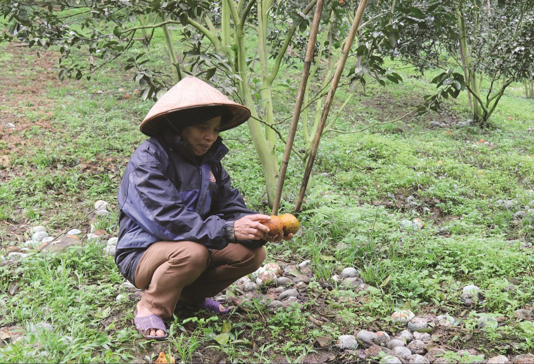 Bà Dương Thị Đa cặm cụi gom cam rụng để chôn lấp
