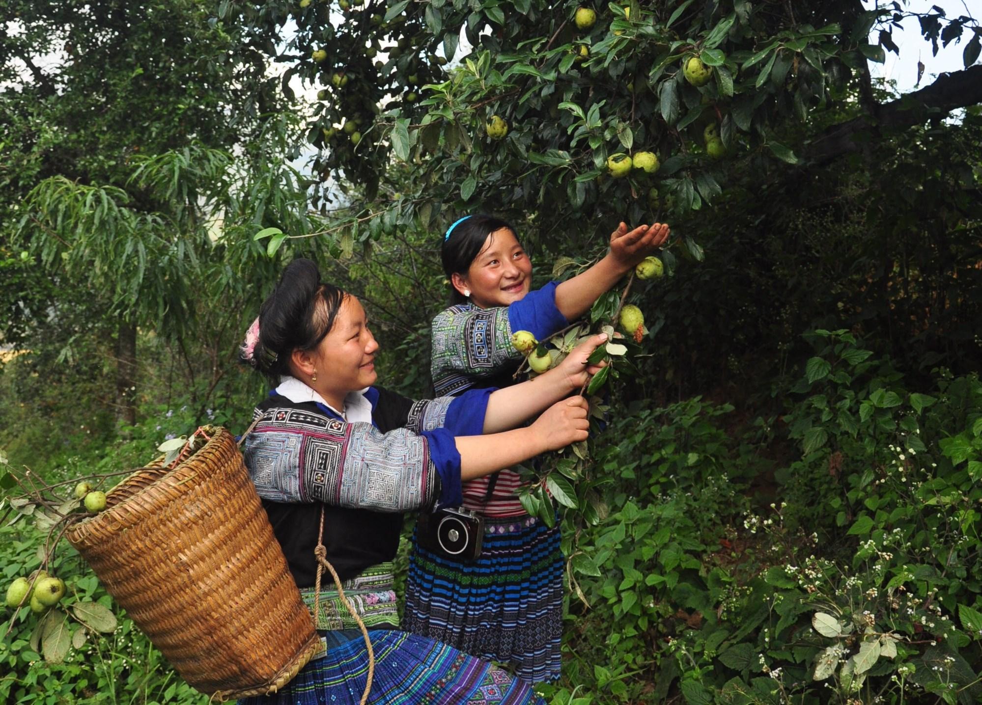 Nhiều gia đình ở Nậm Có học theo ông Thào A Ký trồng táo mèo đã có thu nhập ổn định.