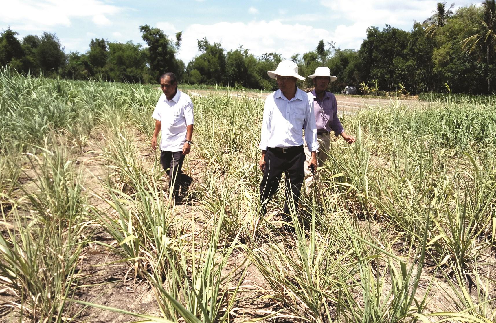 Cán bộ khuyến nông hướng dẫn người dân áp dụng KH-CN vào trồng và xây dựng thương hiệu dứa Đồng Din