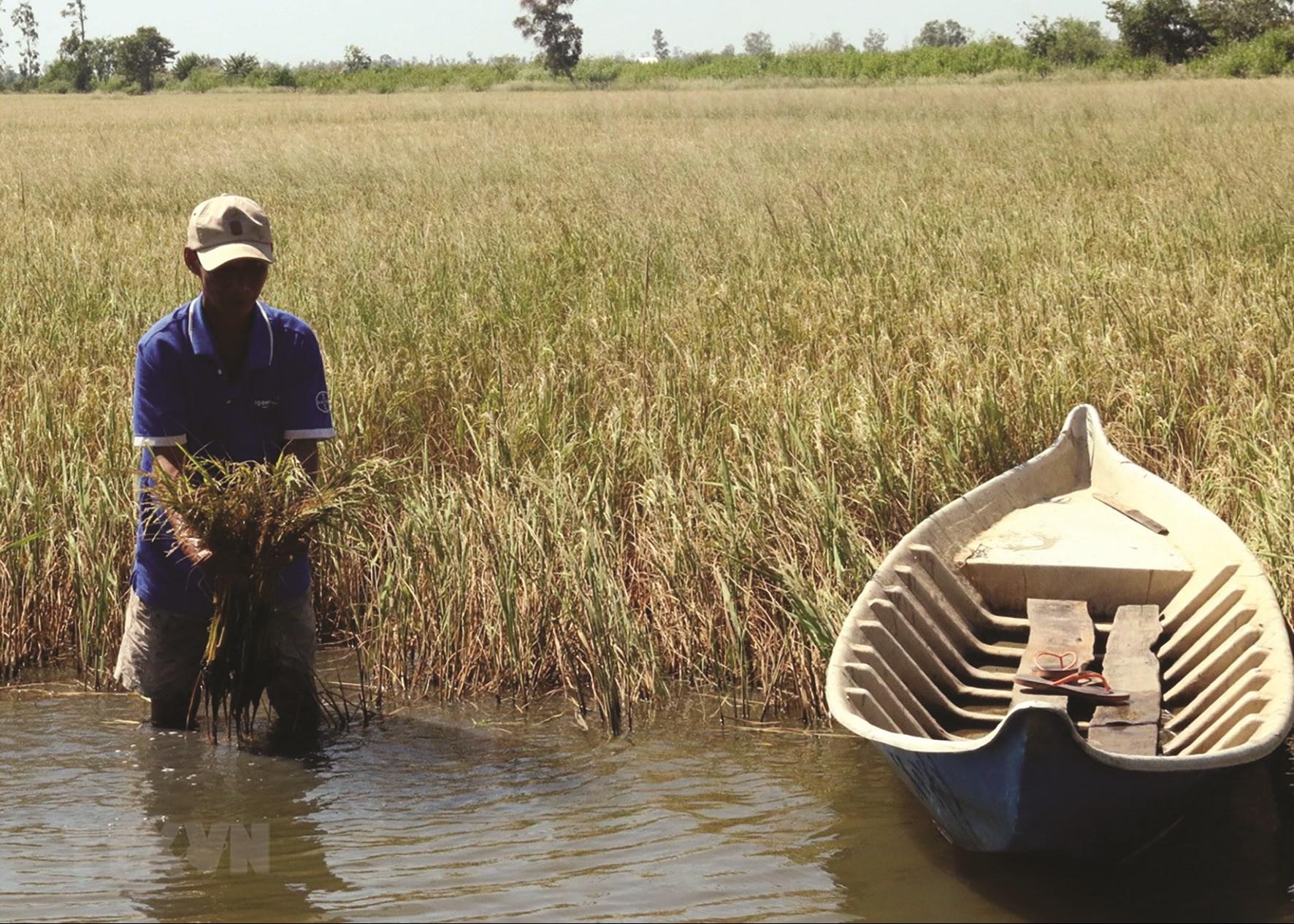 Xâm nhập mặn làm thiệt hại nhiều diện tích lúa Đông - Xuân ở ĐBSCL. (Ảnh TL).