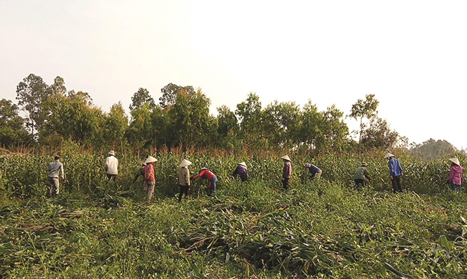 Nông dân huyện Bố Trạch thu hoạch ngô sinh khối.