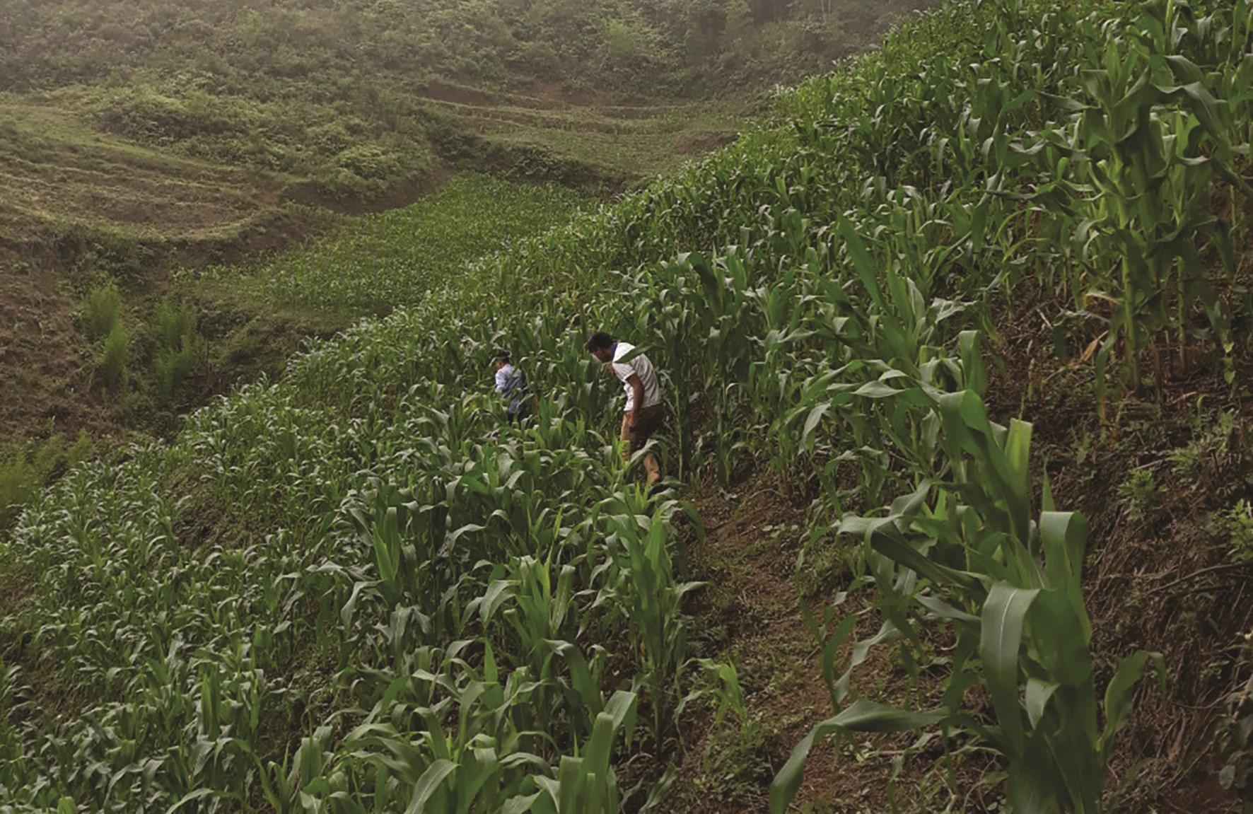 Chuyên canh sản xuất nông nghiệp theo hướng hàng hóa giúp người dân Quang Bình có thu nhập ổn định