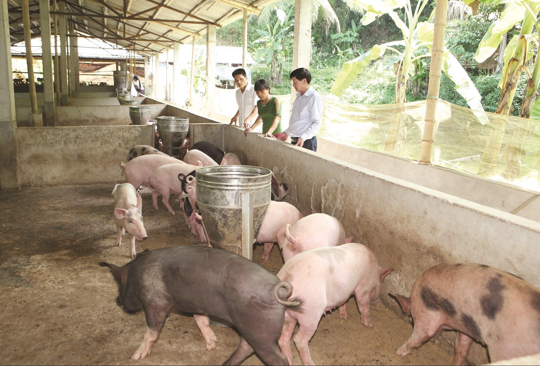 Việc tái đàn lợn, người chăn nuôi ở Thanh Hóa phải thực hiện nuôi cách ly ít nhất 15 ngày trước khi nhập đàn.